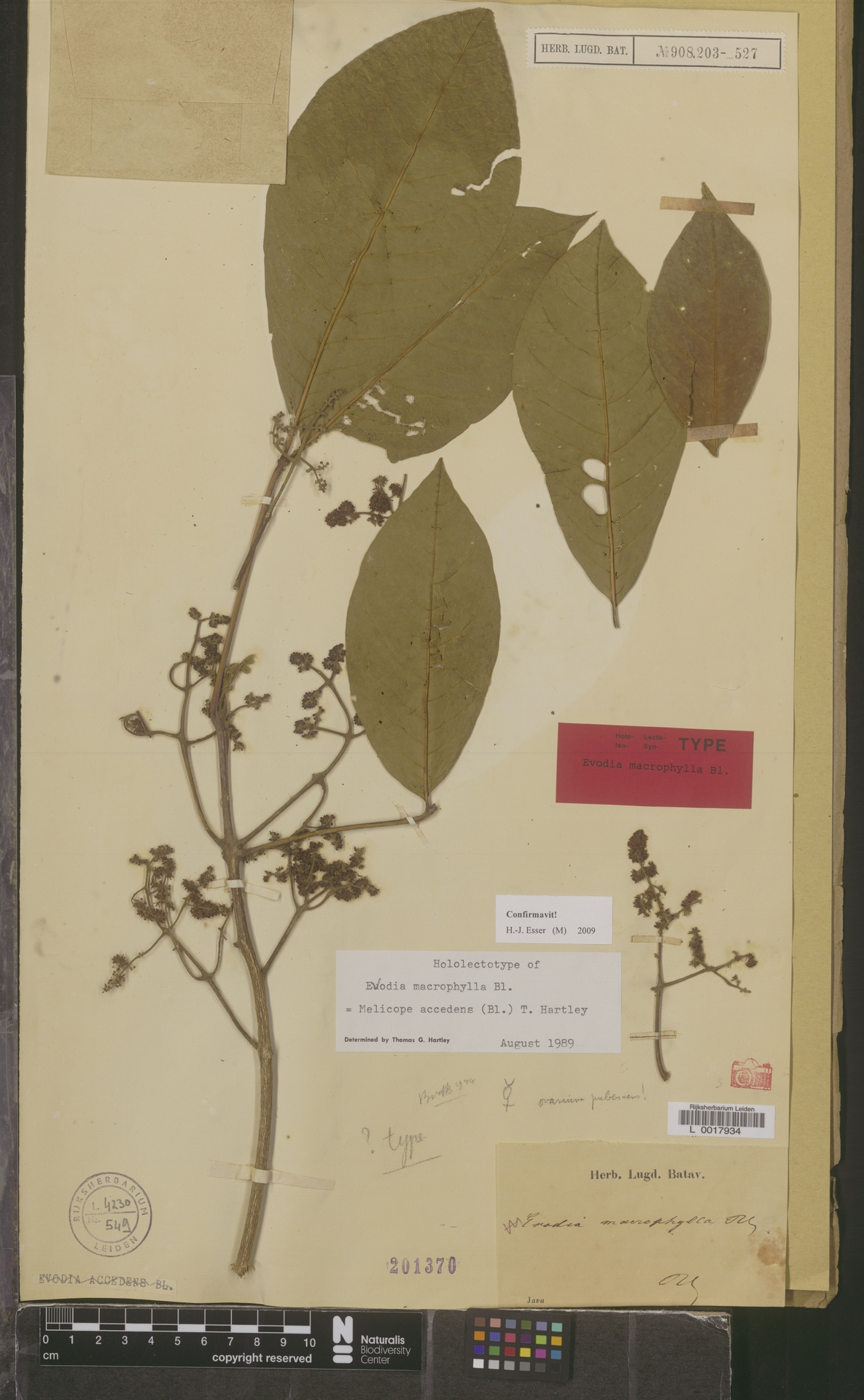 L  0017934 | Melicope accedens (Blume) T.G.Hartley