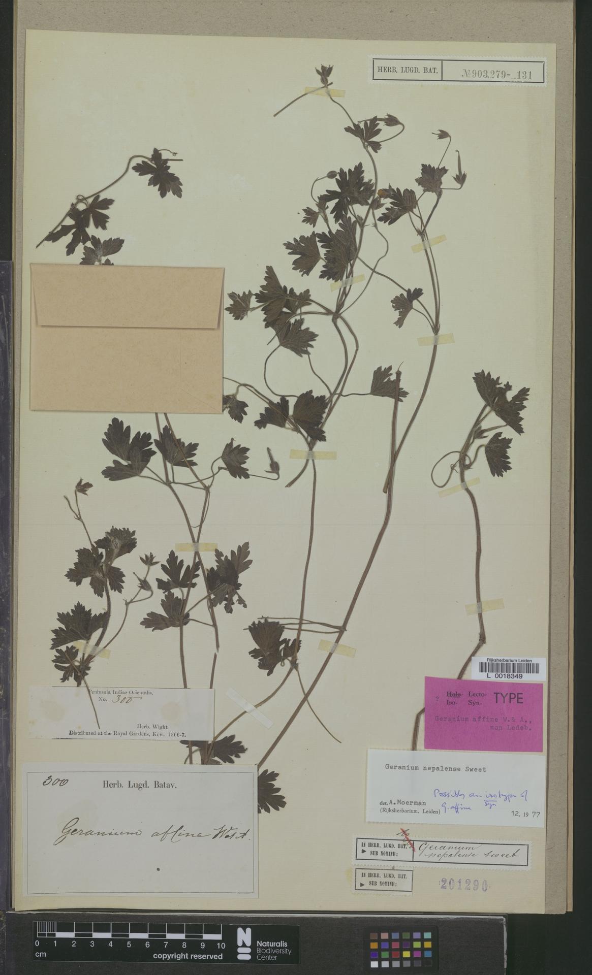 L  0018349 | Geranium nepalense Sweet