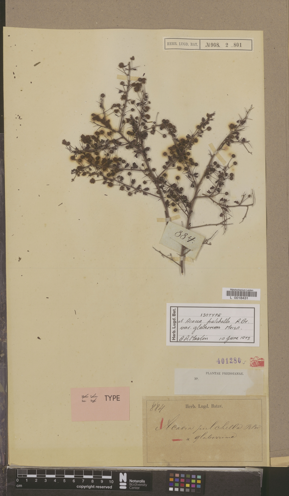 L  0018431 | Acacia pulchella var. glaberrima Meisn.