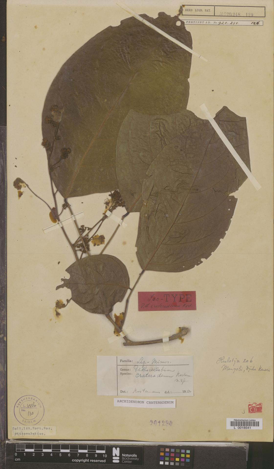 L  0018541 | Archidendron crateradendum (Kosterm.) I.C.Nielsen