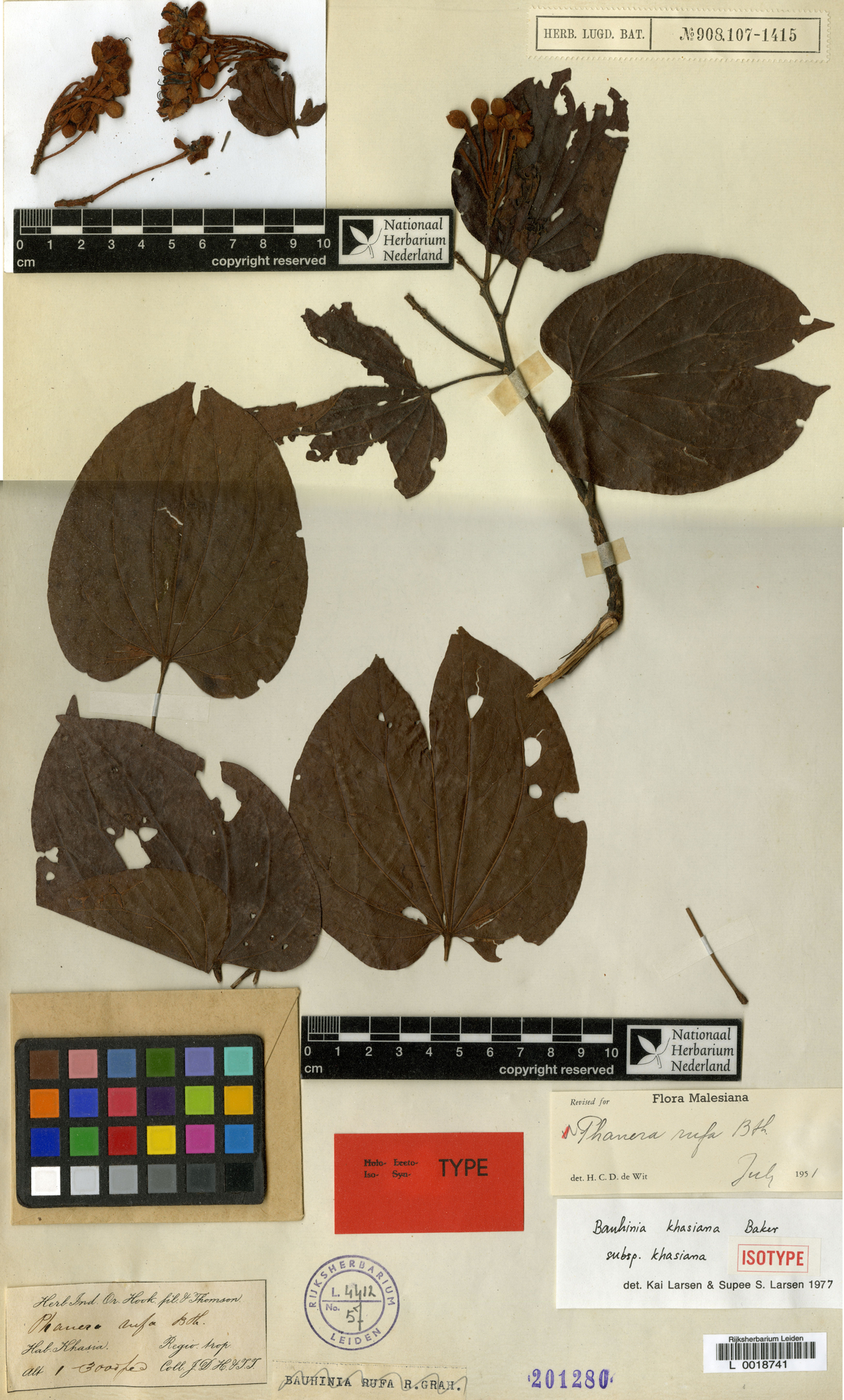 L  0018741 | Bauhinia khasiana subsp. khasiana