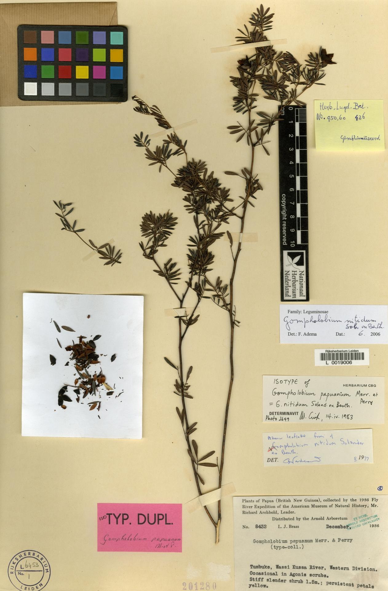 L  0019006   Gompholobium nitidum Sol. ex Benth.