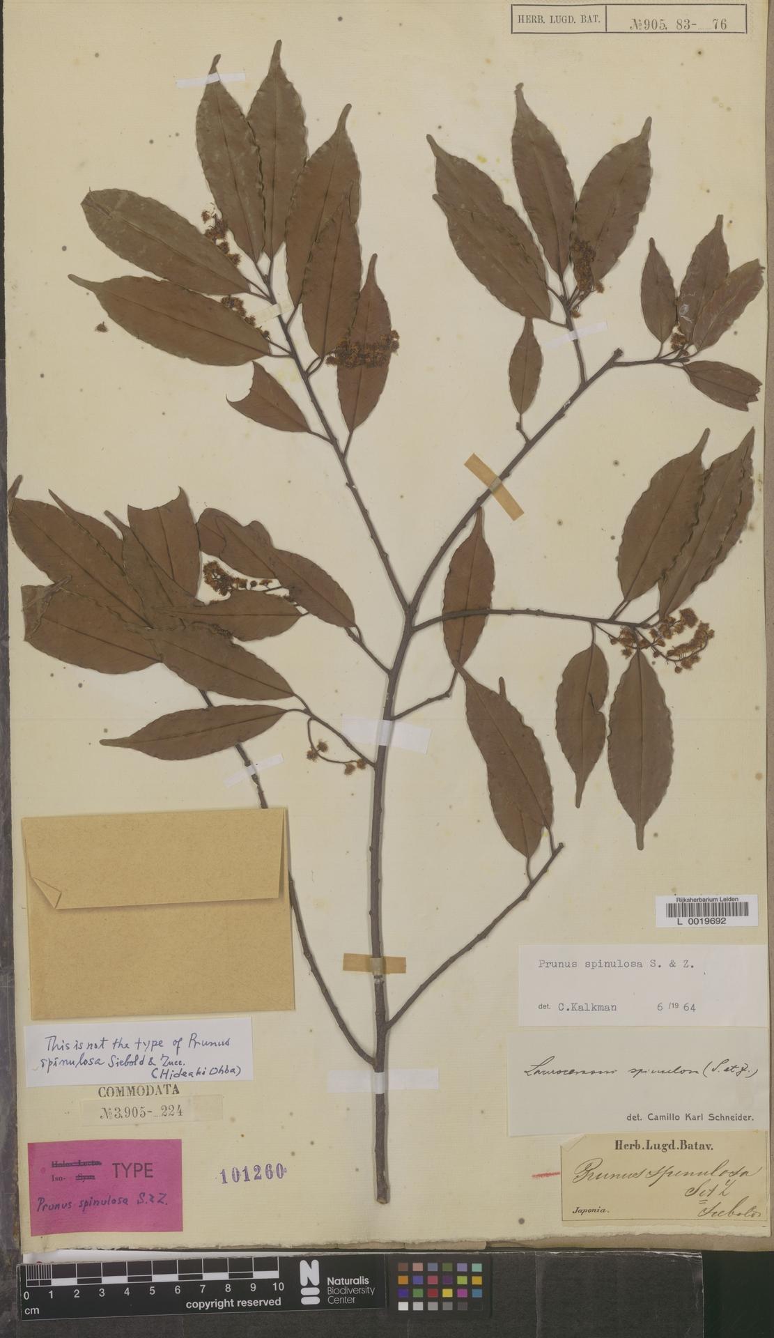 L  0019692 | Prunus spinulosa Siebold & Zucc.