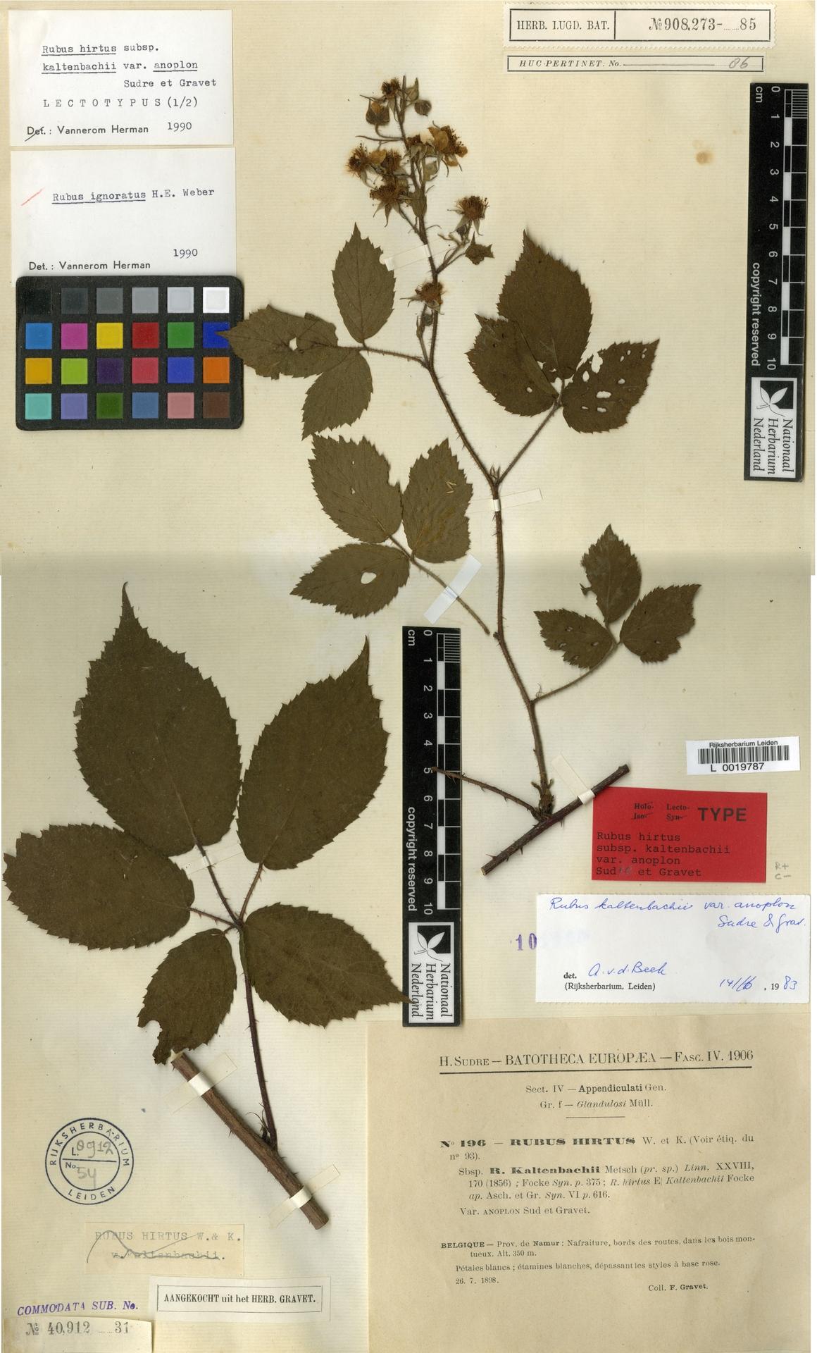 L  0019787 | Rubus biformis Boulay