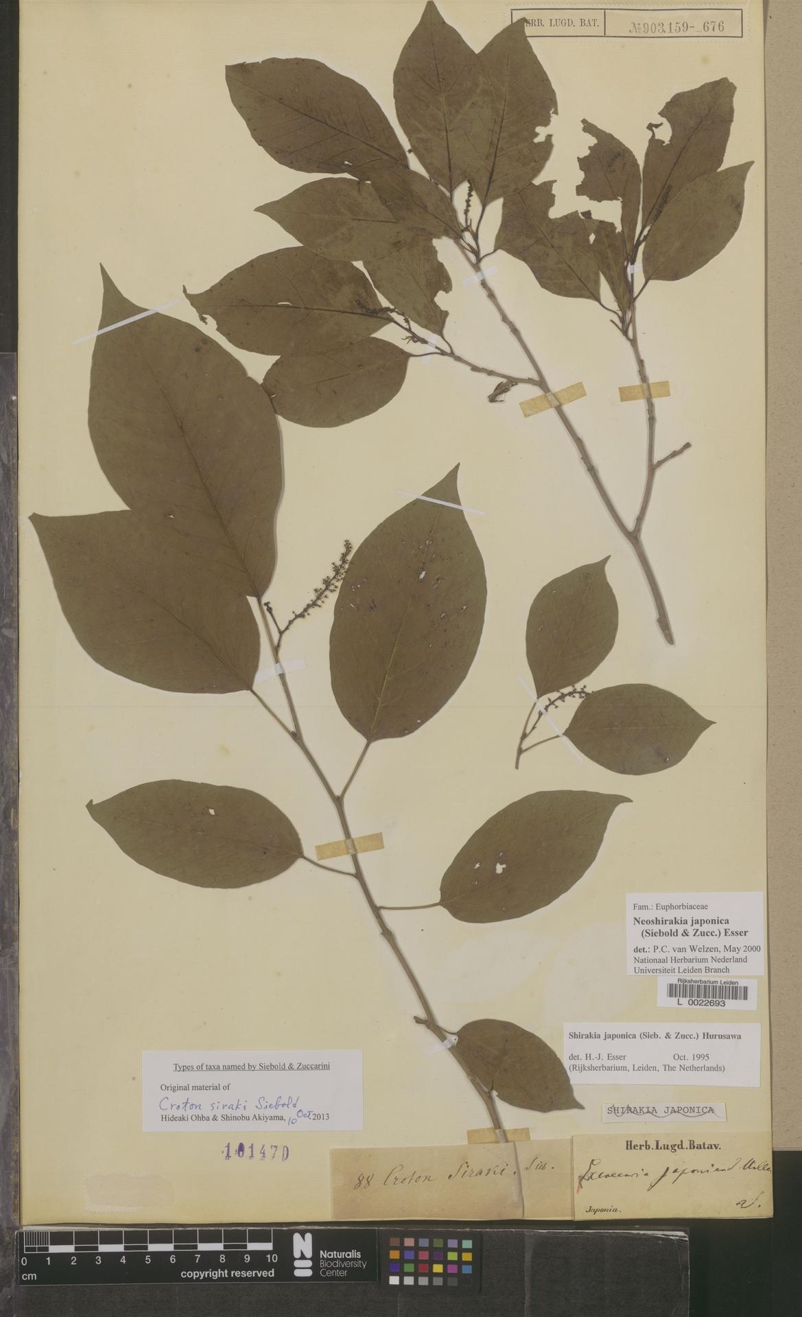 L  0022693 | Neoshirakia japonica (Siebold & Zucc.) Esser