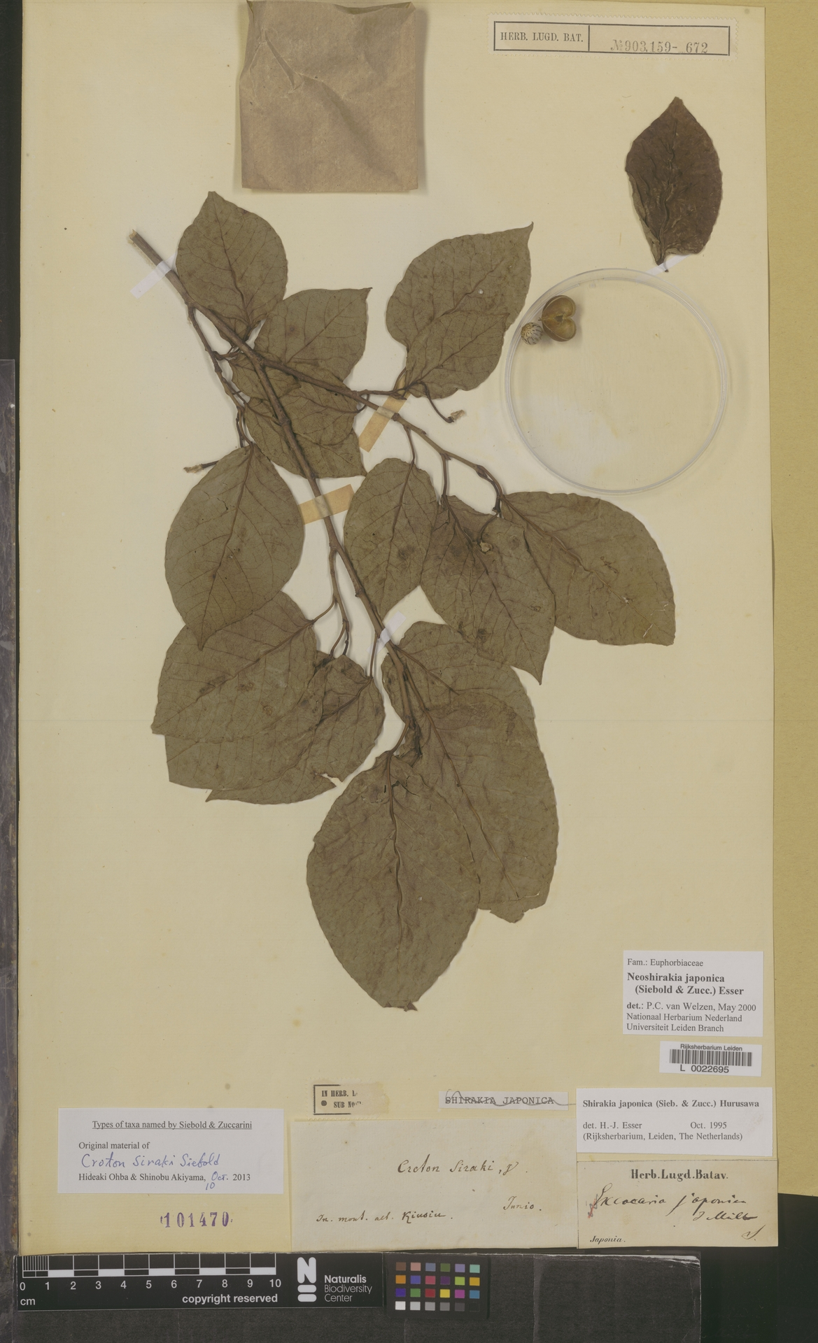 L  0022695 | Neoshirakia japonica (Siebold & Zucc.) Esser