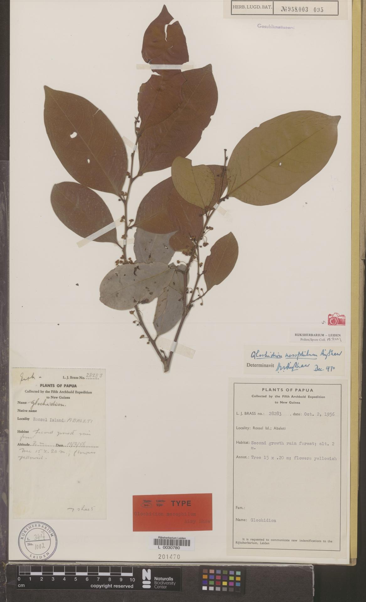 L  0030780 | Glochidion nesophilum Airy Shaw