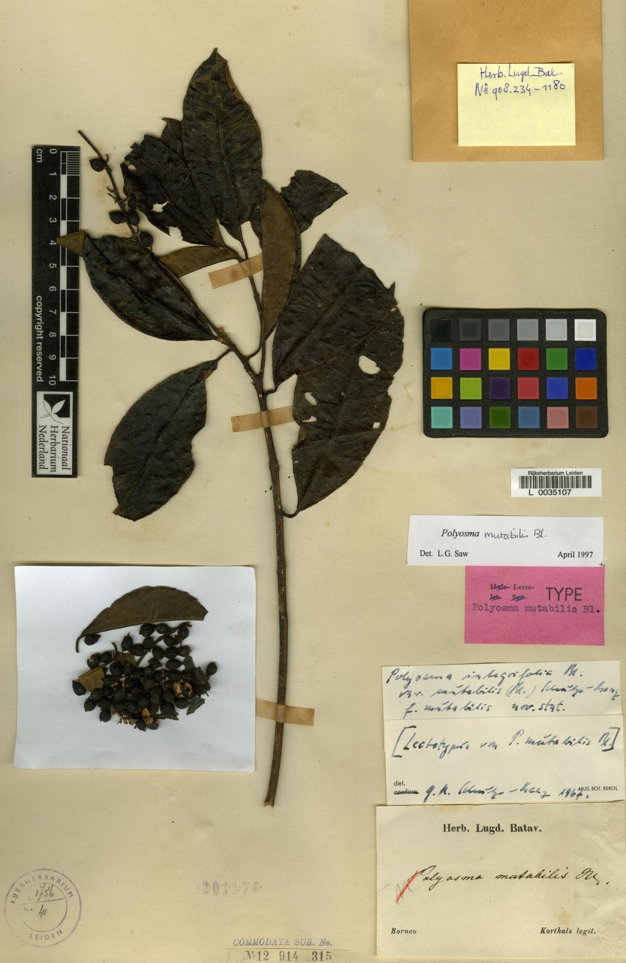 L  0035107 | Polyosma mutabilis Blume