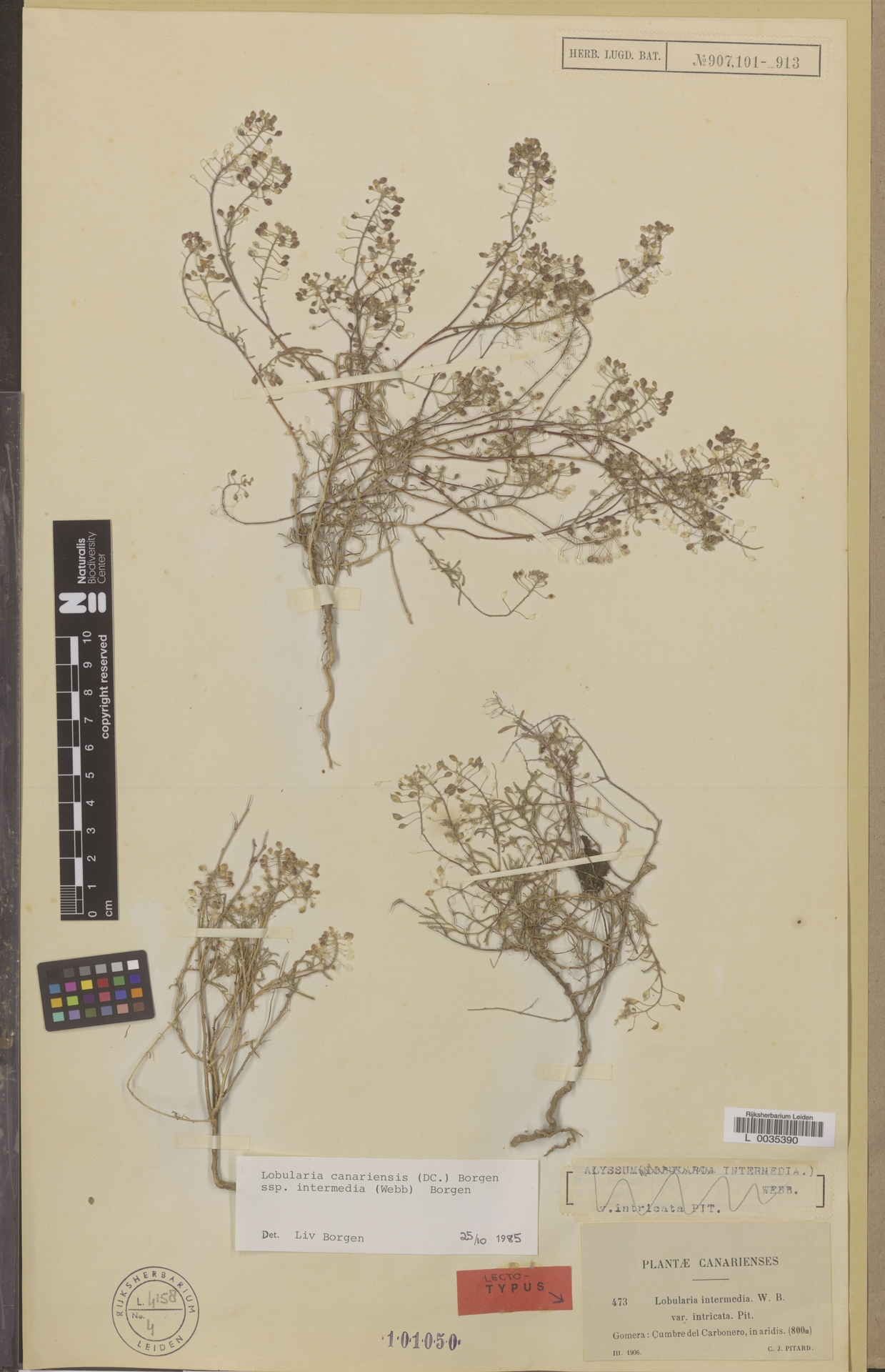 L  0035390   Lobularia canariensis subsp. intermedia (Webb & Berthel.) L.Borgen