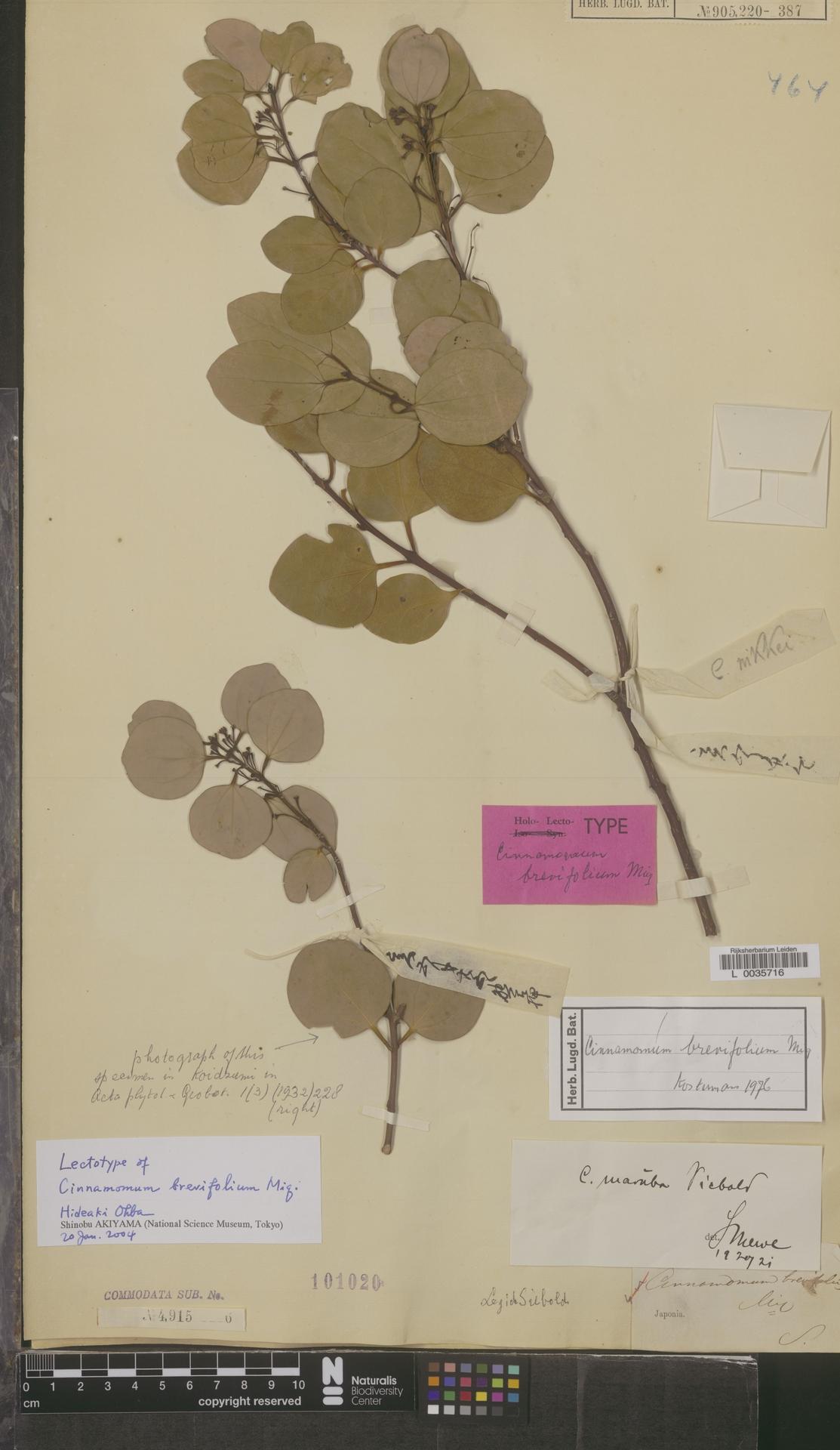 L  0035716   Cinnamomum brevifolium Miq.