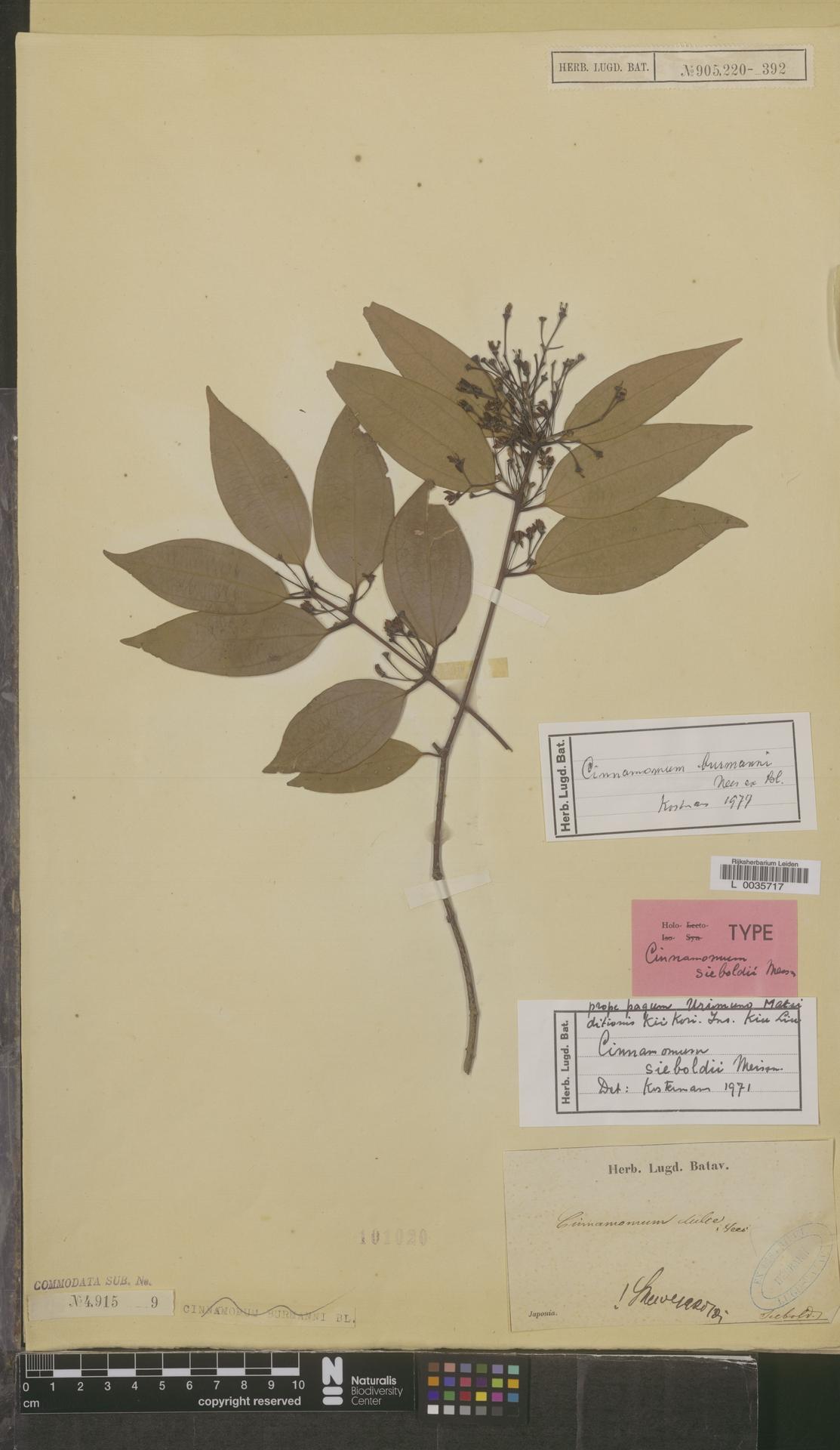 L  0035717 | Cinnamomum burmannii (Nees & T.Nees) Blume