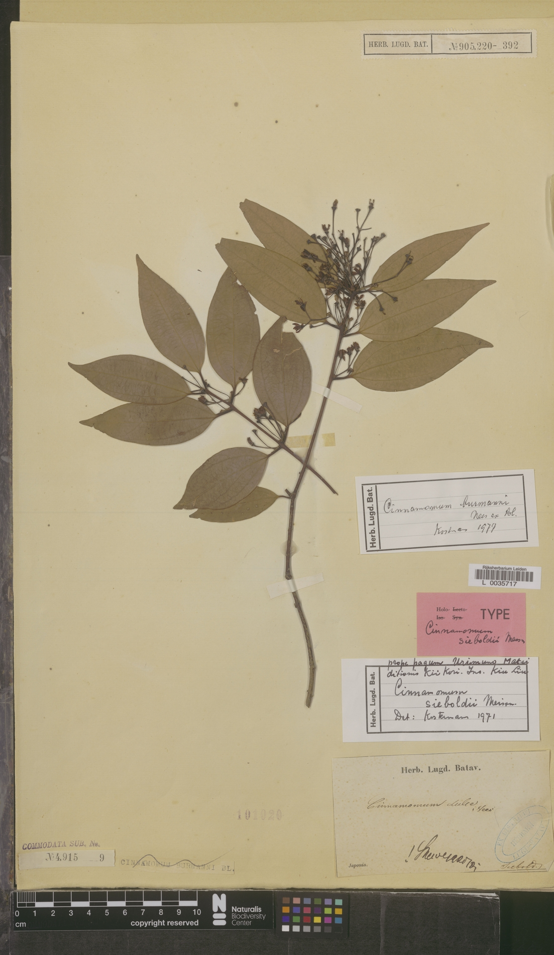 L  0035717 | Cinnamomum burmanni (Nees & T.Nees) Blume