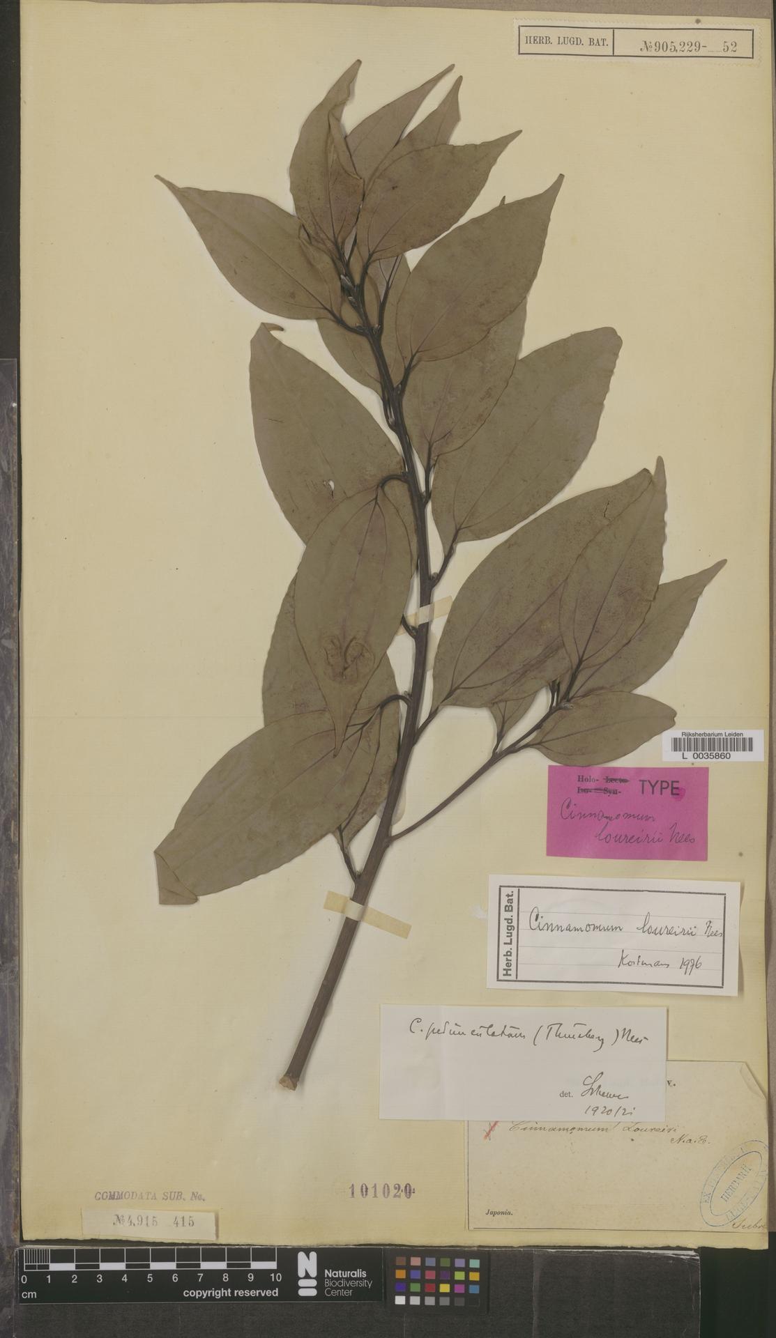 L  0035860 | Cinnamomum loureirii Nees