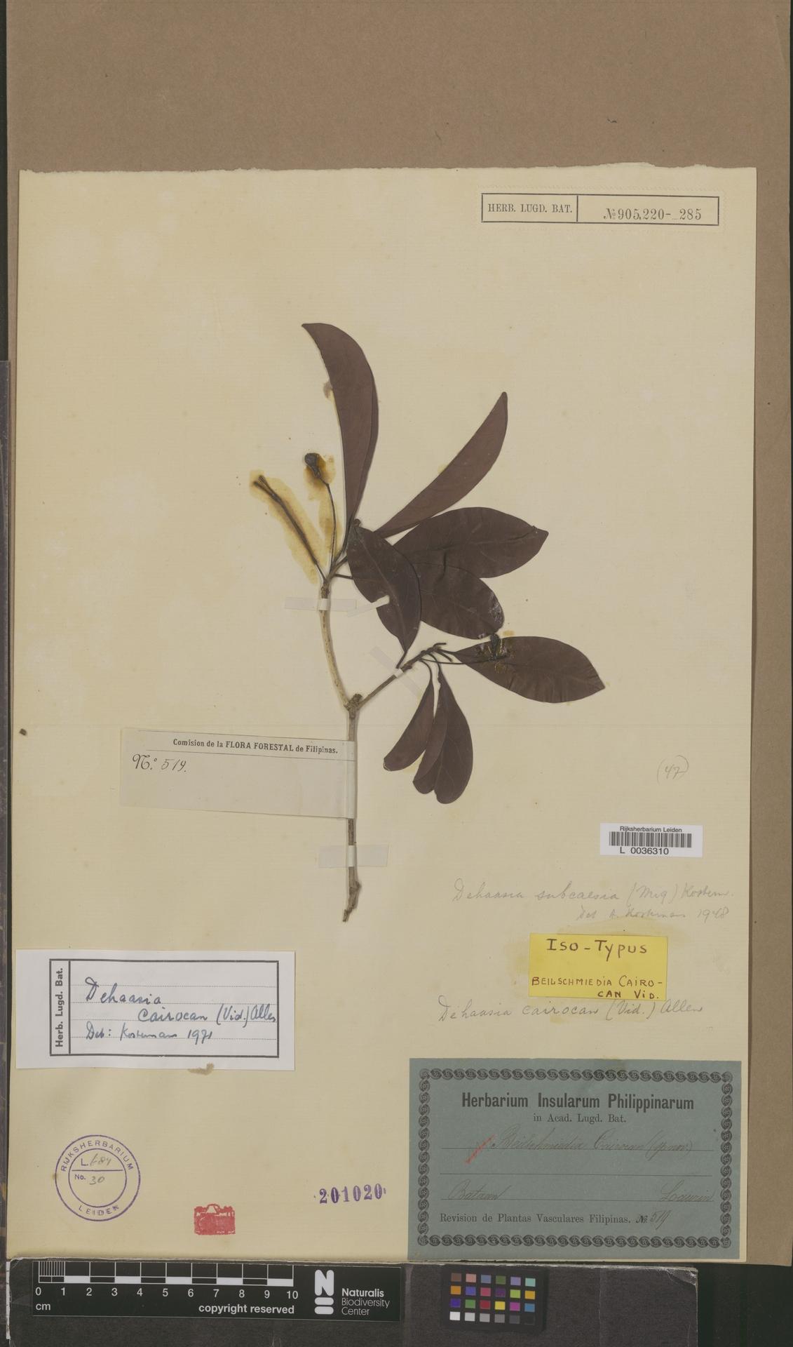 L  0036310 | Dehaasia cairocan (Vidal) C.K.Allen