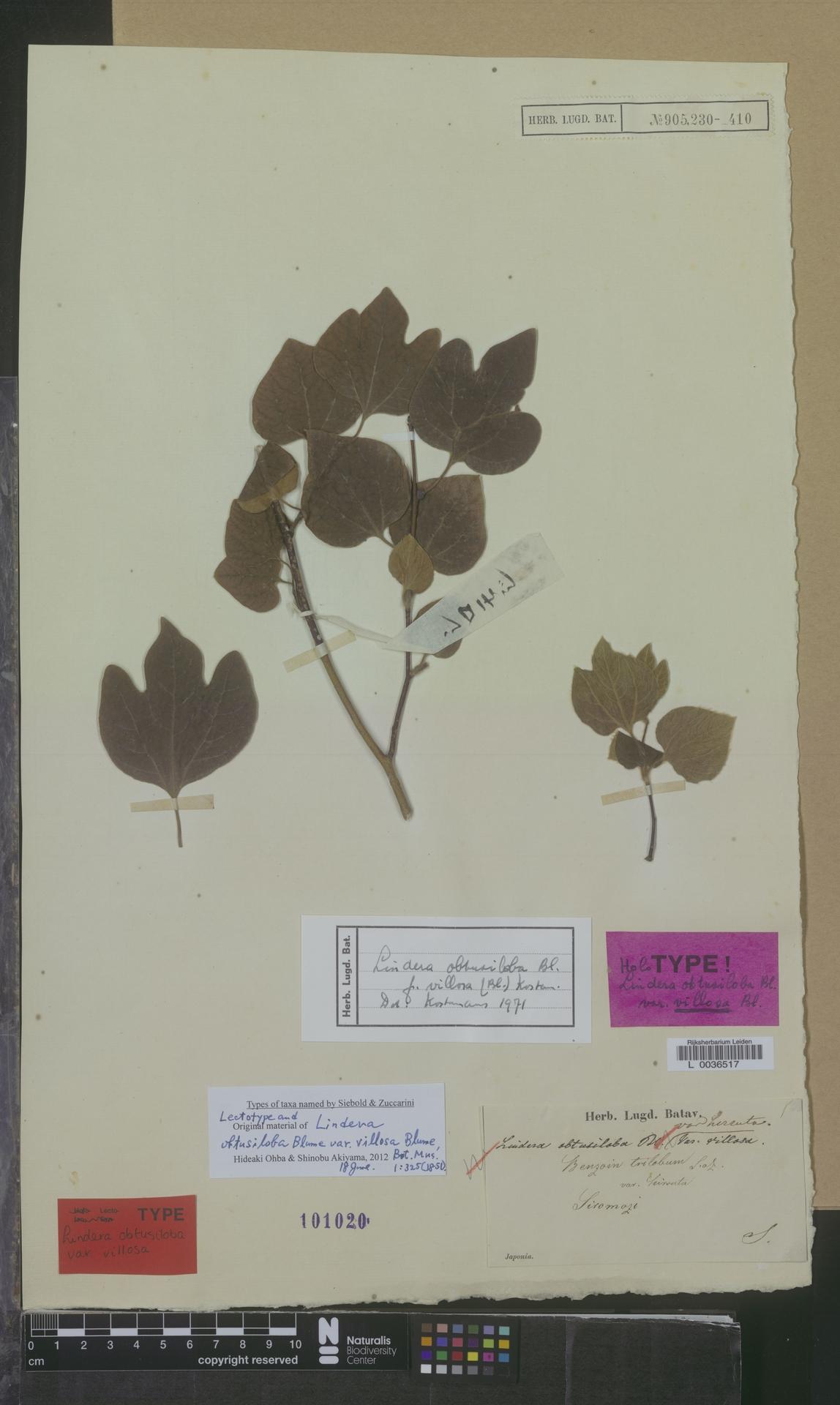 L  0036517 | Lindera obtusiloba f. villosa (Blume) Kosterm.