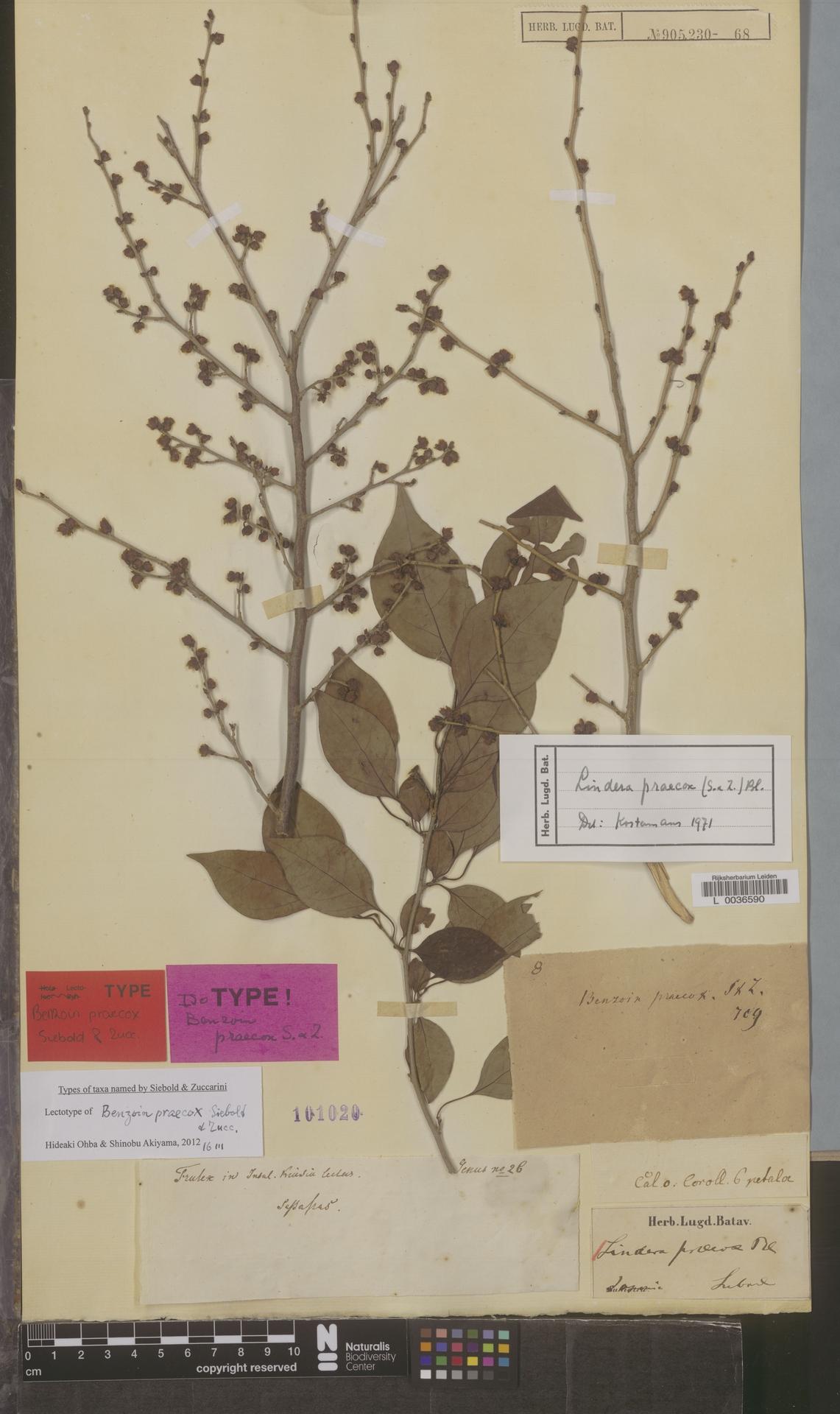 L  0036590 | Lindera praecox (Siebold & Zucc.) Blume