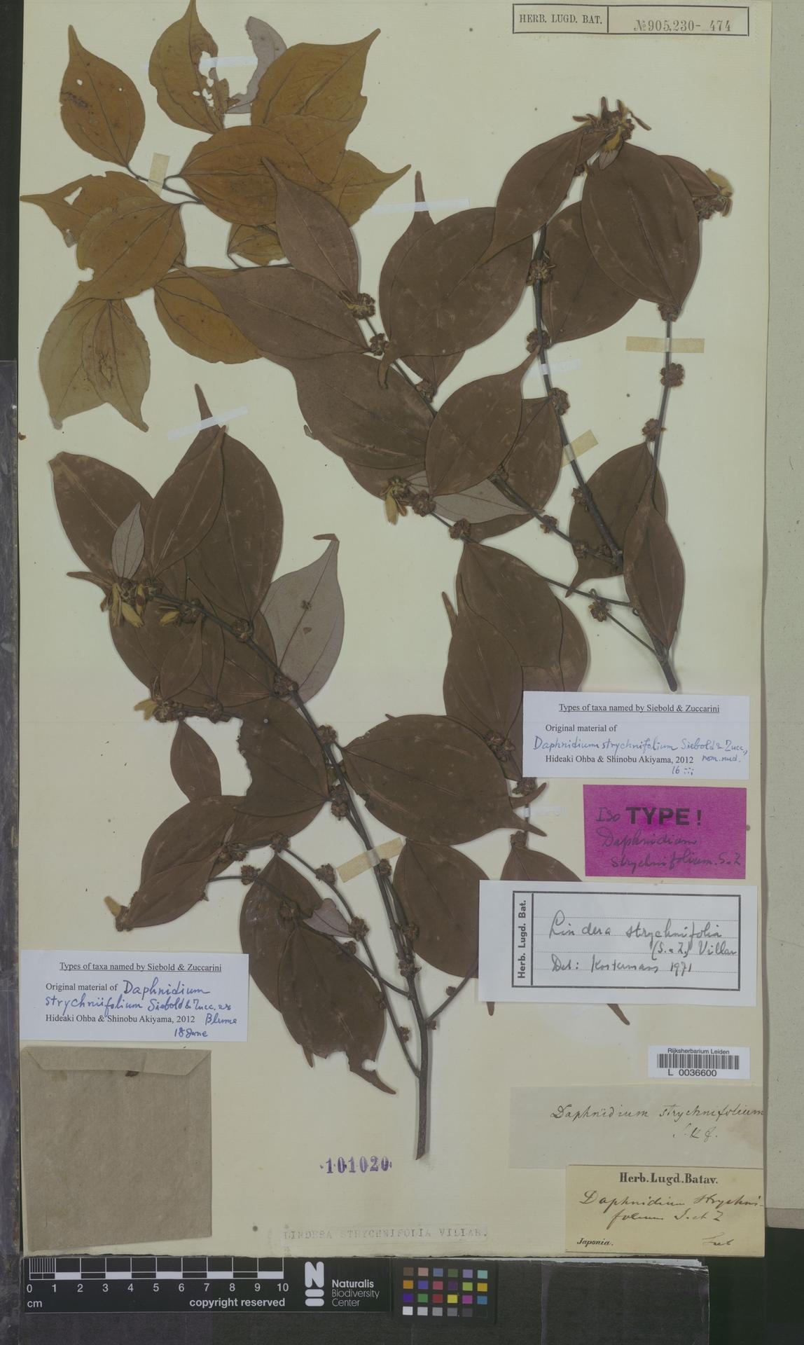 L  0036600 | Lindera strychnifolia Vill.