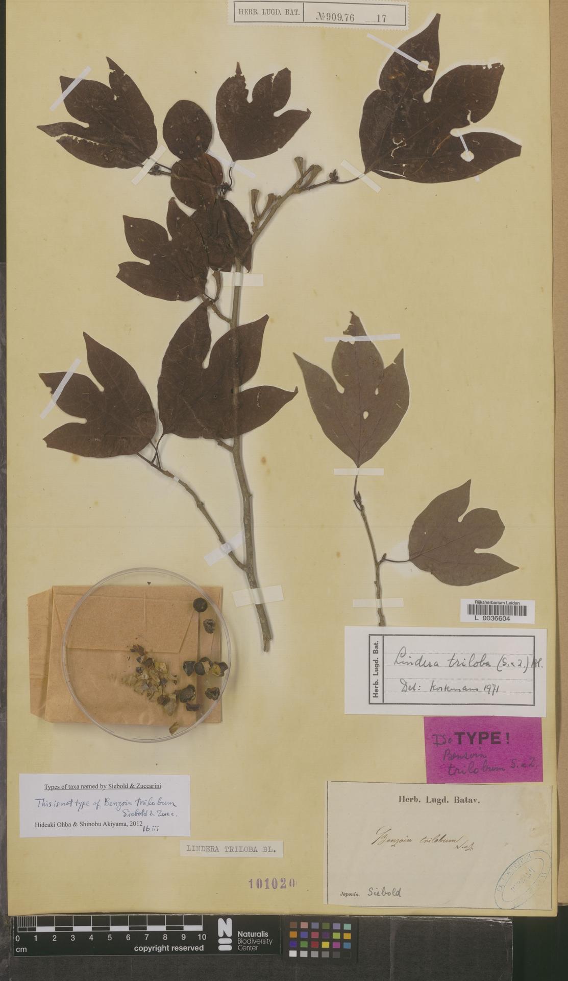 L  0036604 | Lindera triloba (Siebold & Zucc.) Blume