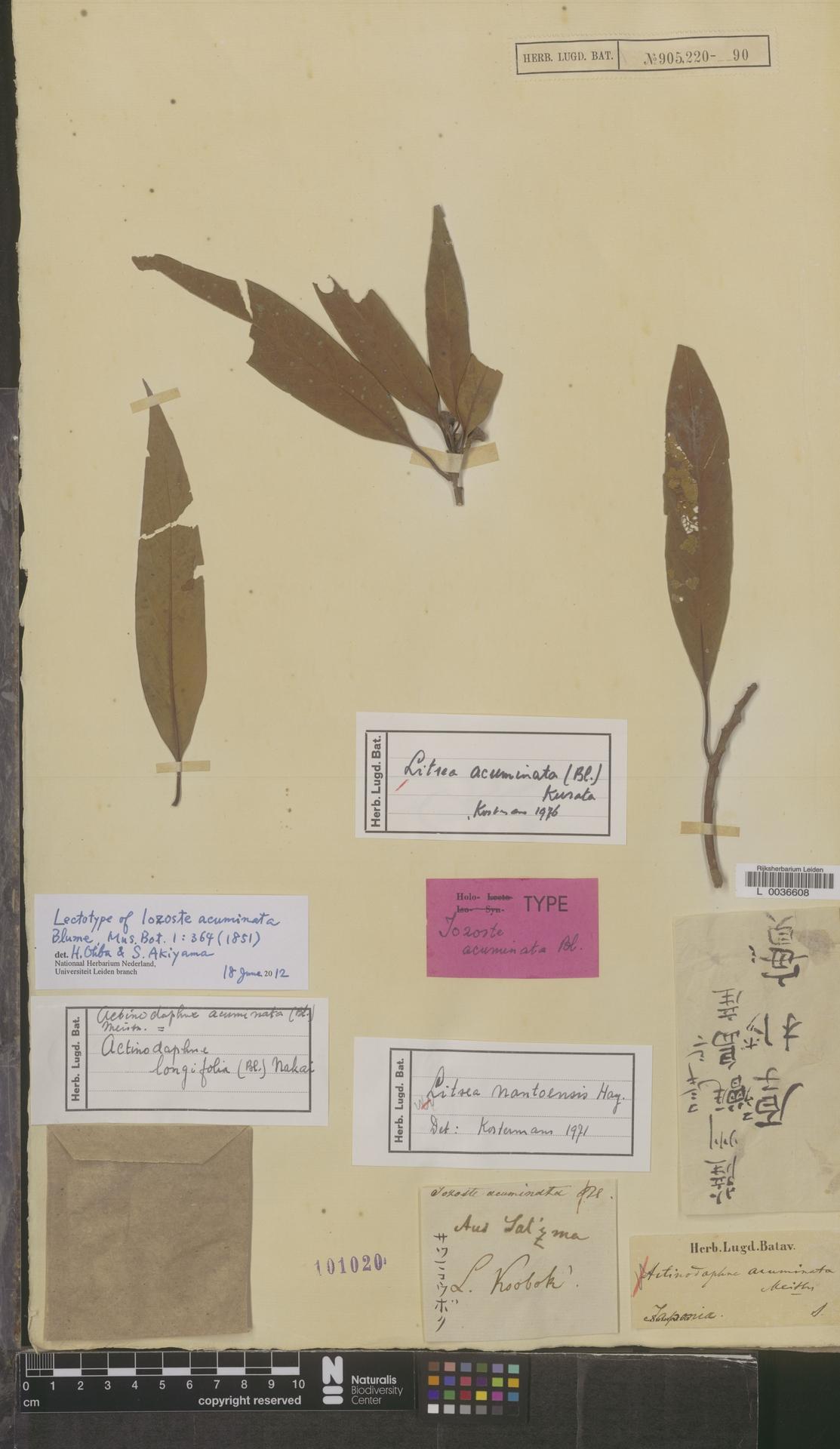 L  0036608 | Litsea acuminata (Blume) Sa.Kurata