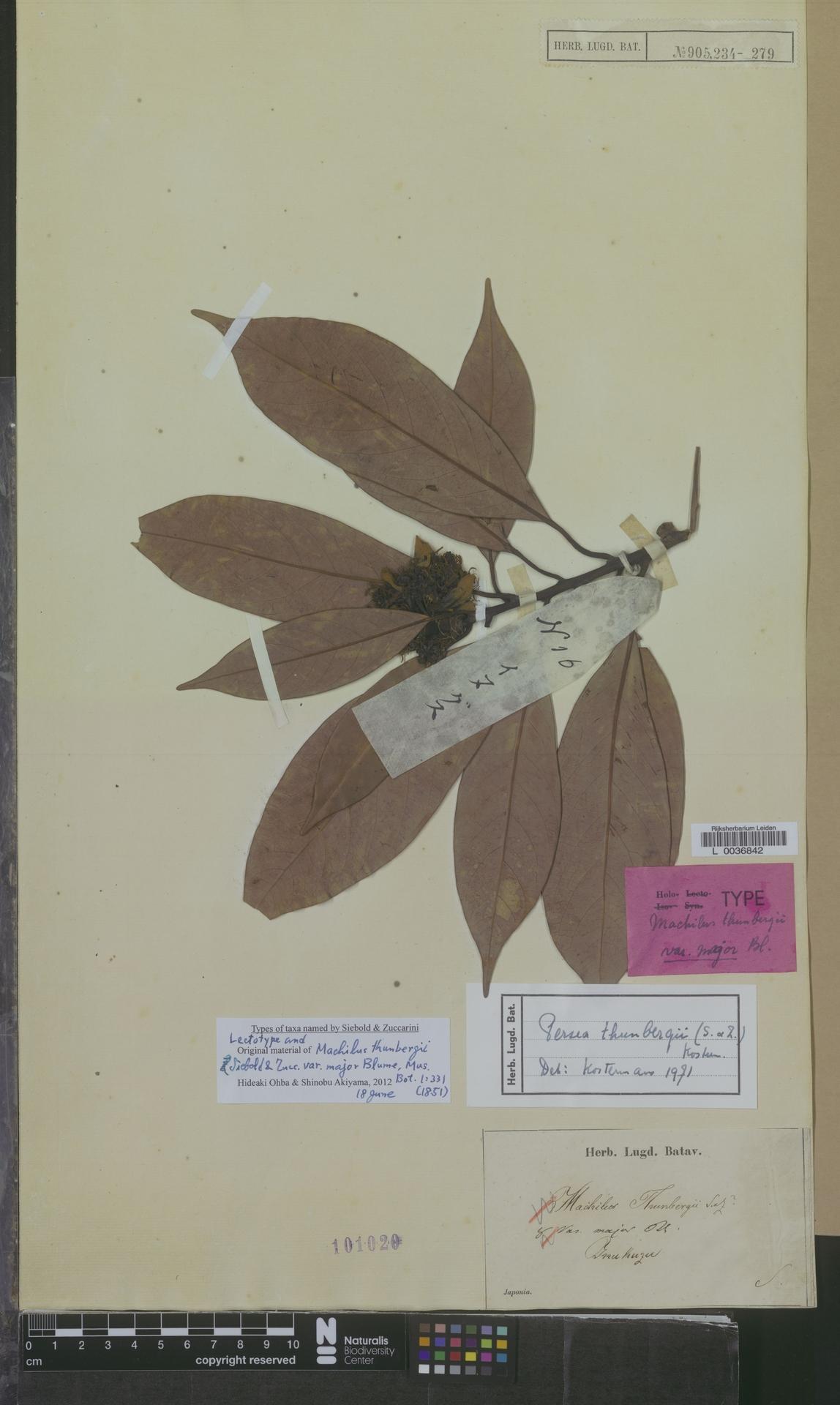 L  0036842   Persea thunbergii (Siebold & Zucc.) Kosterm.