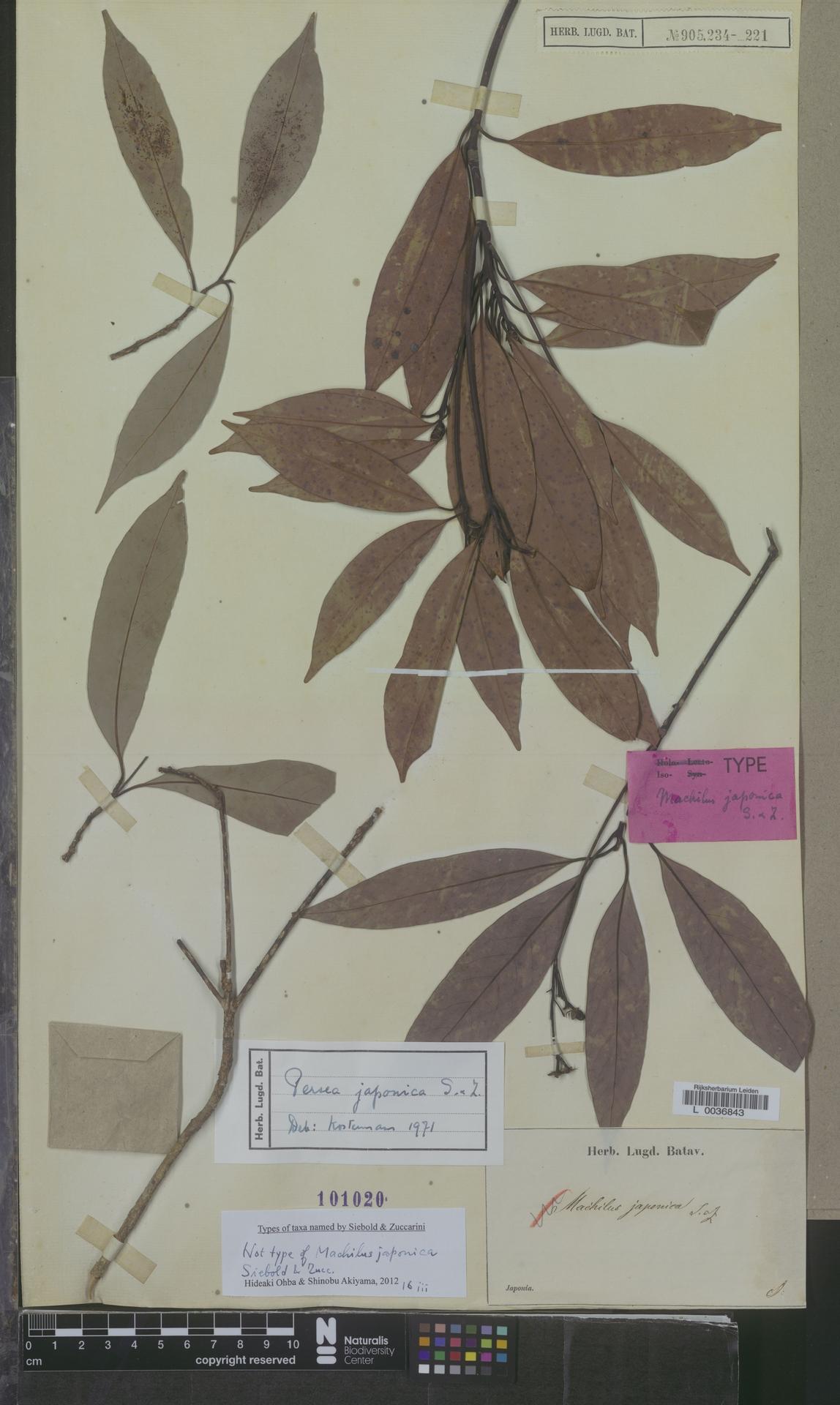 L  0036843 | Persea japonica Siebold