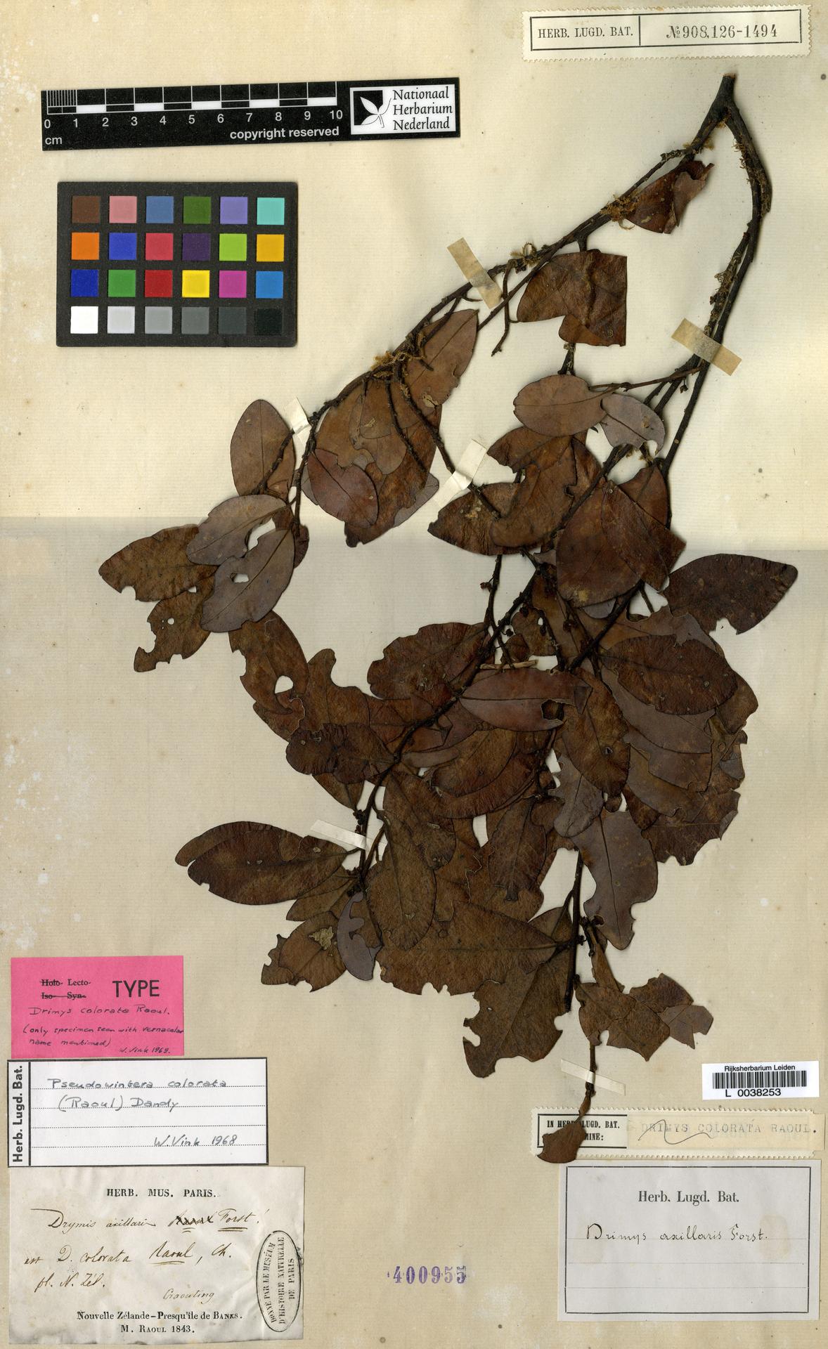 L  0038253 | Pseudowintera colorata (Raoul) Dandy