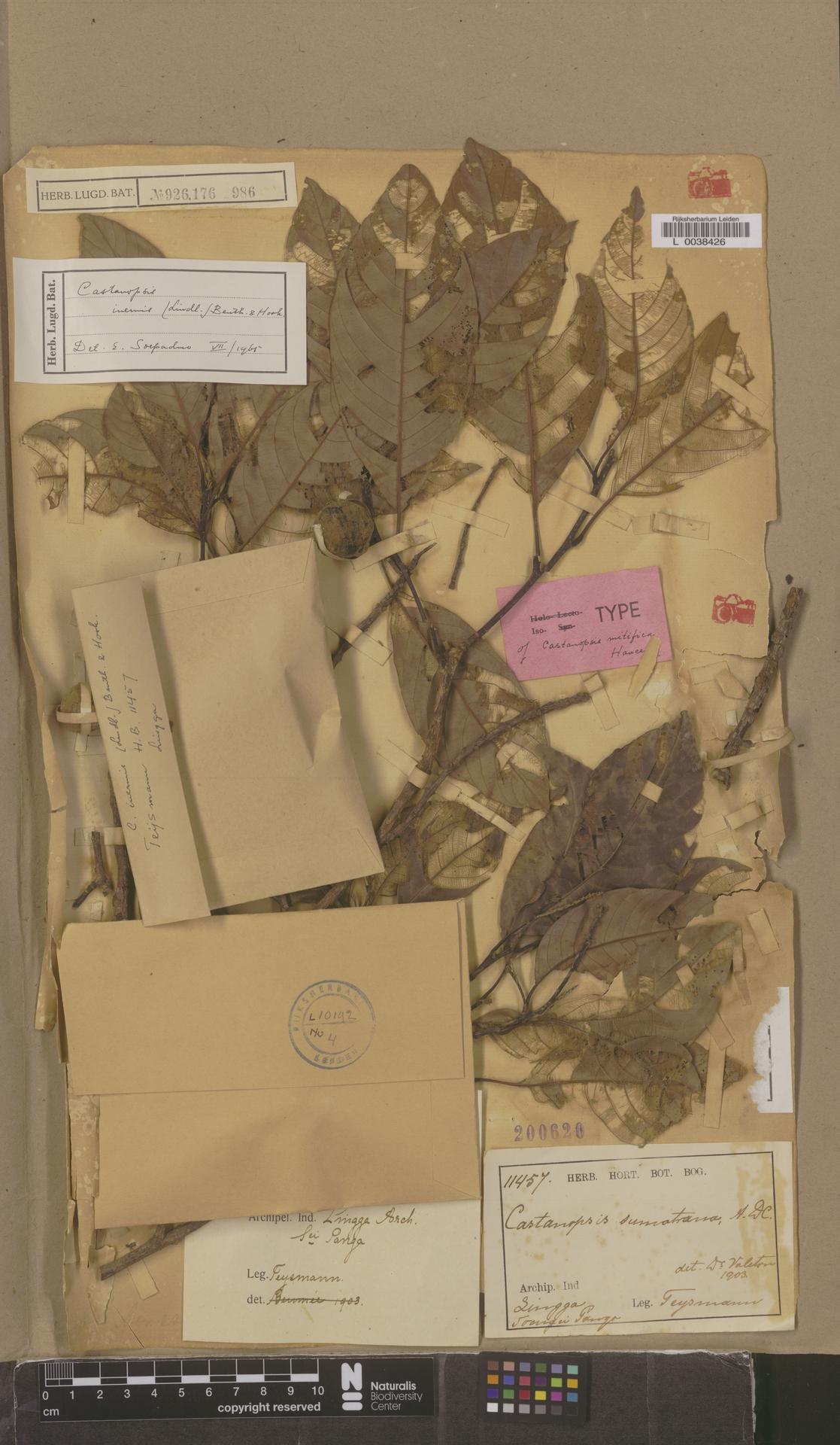L  0038426 | Castanopsis inermis (Lindl.) Benth. & Hook.f.