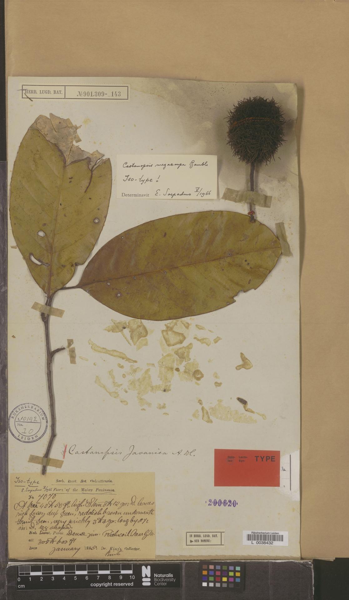 L  0038432 | Castanopsis megacarpa Gamble
