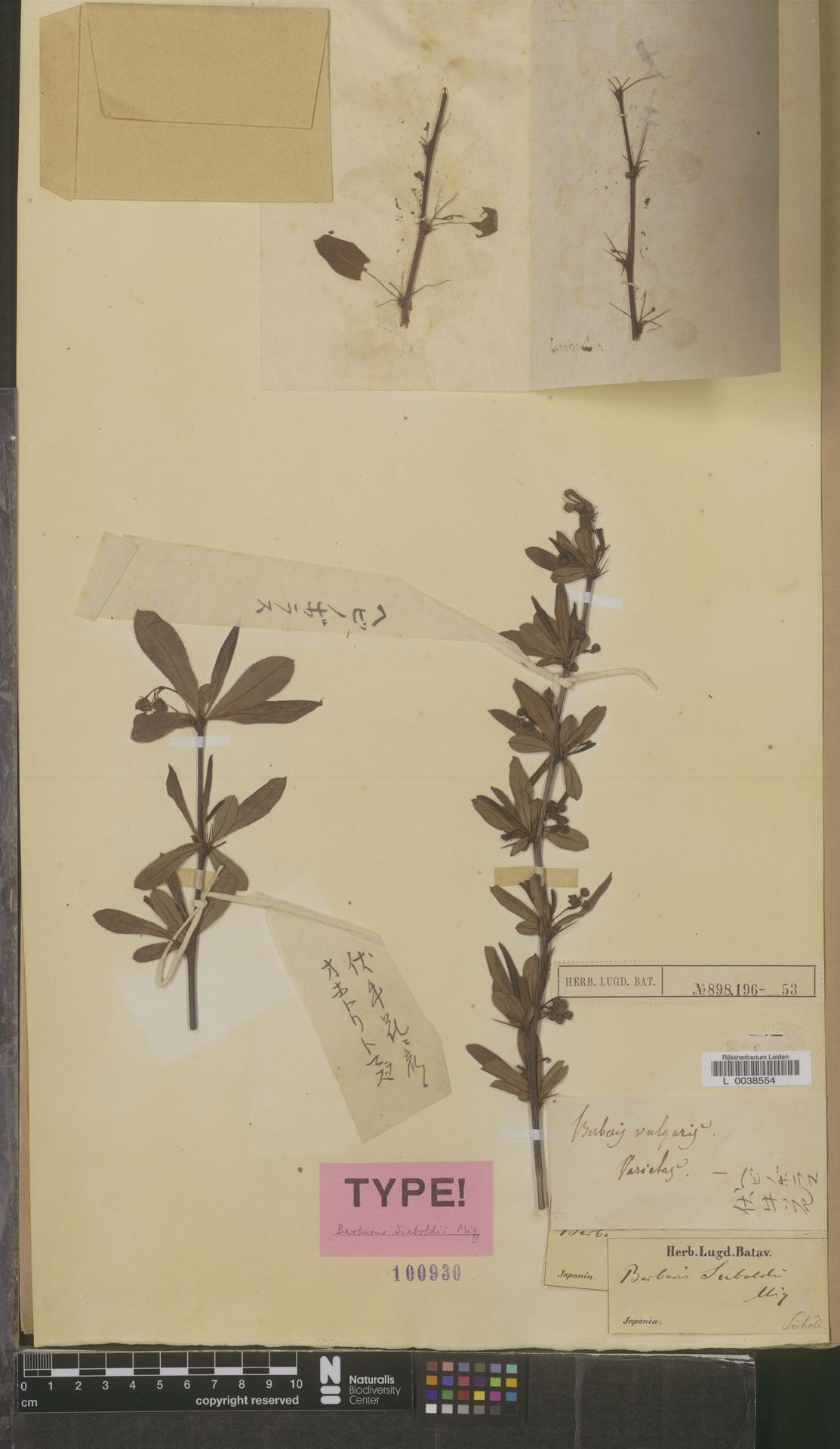 L  0038554 | Berberis sieboldii Miq.