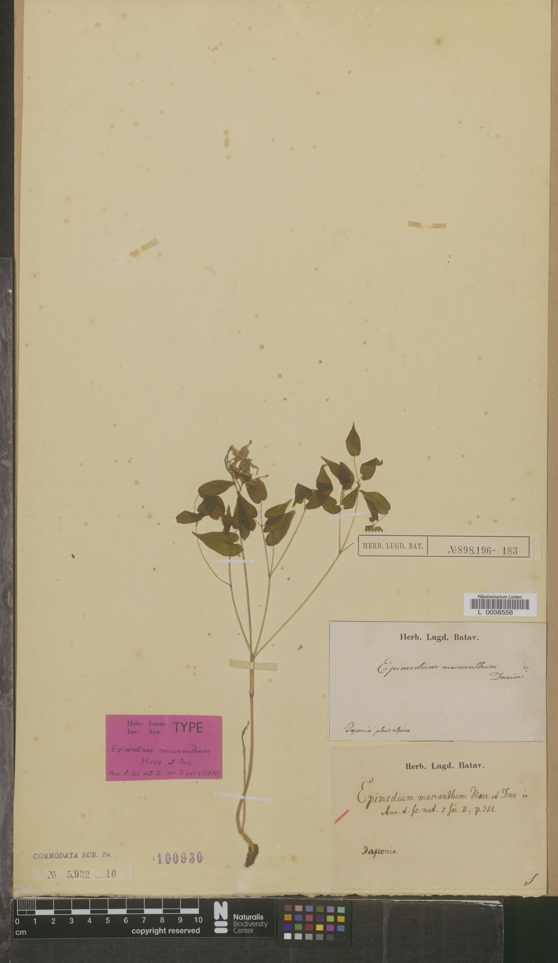 L  0038556   Epimedium macranthum C.Morren & Decne.