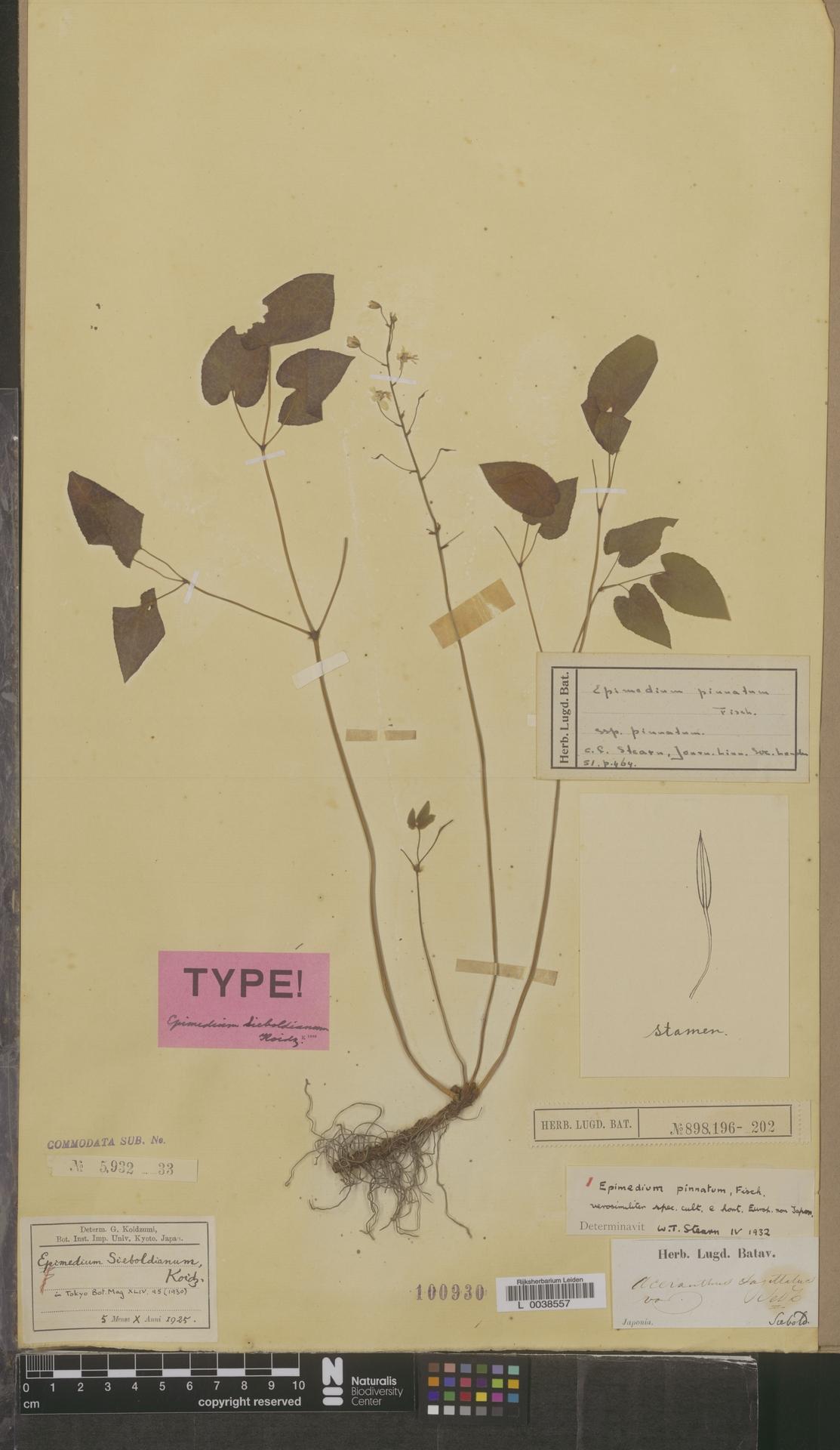 L  0038557   Epimedium pinnatum Fisch. ex DC.