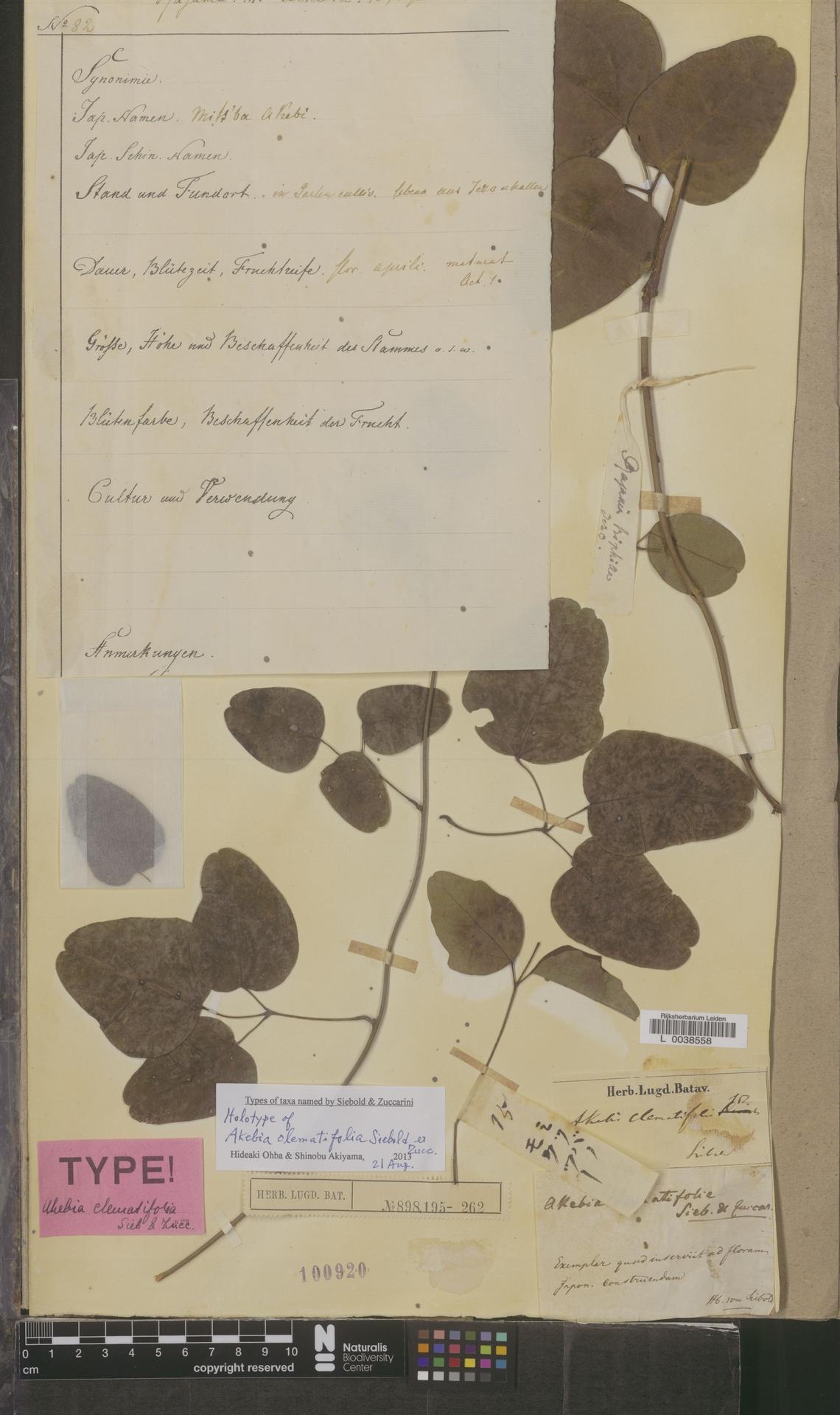 L  0038558 | Akebia clematifolia Siebold & Zucc.