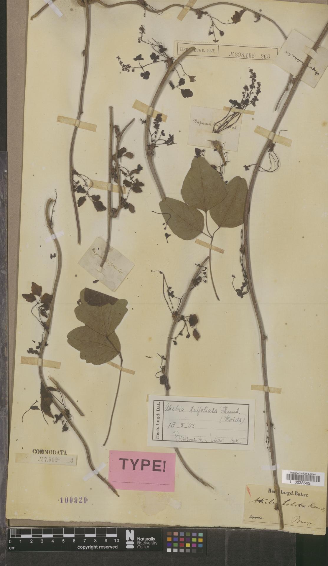 L  0038562 | Akebia trifoliata (Thunb.) Koidz.