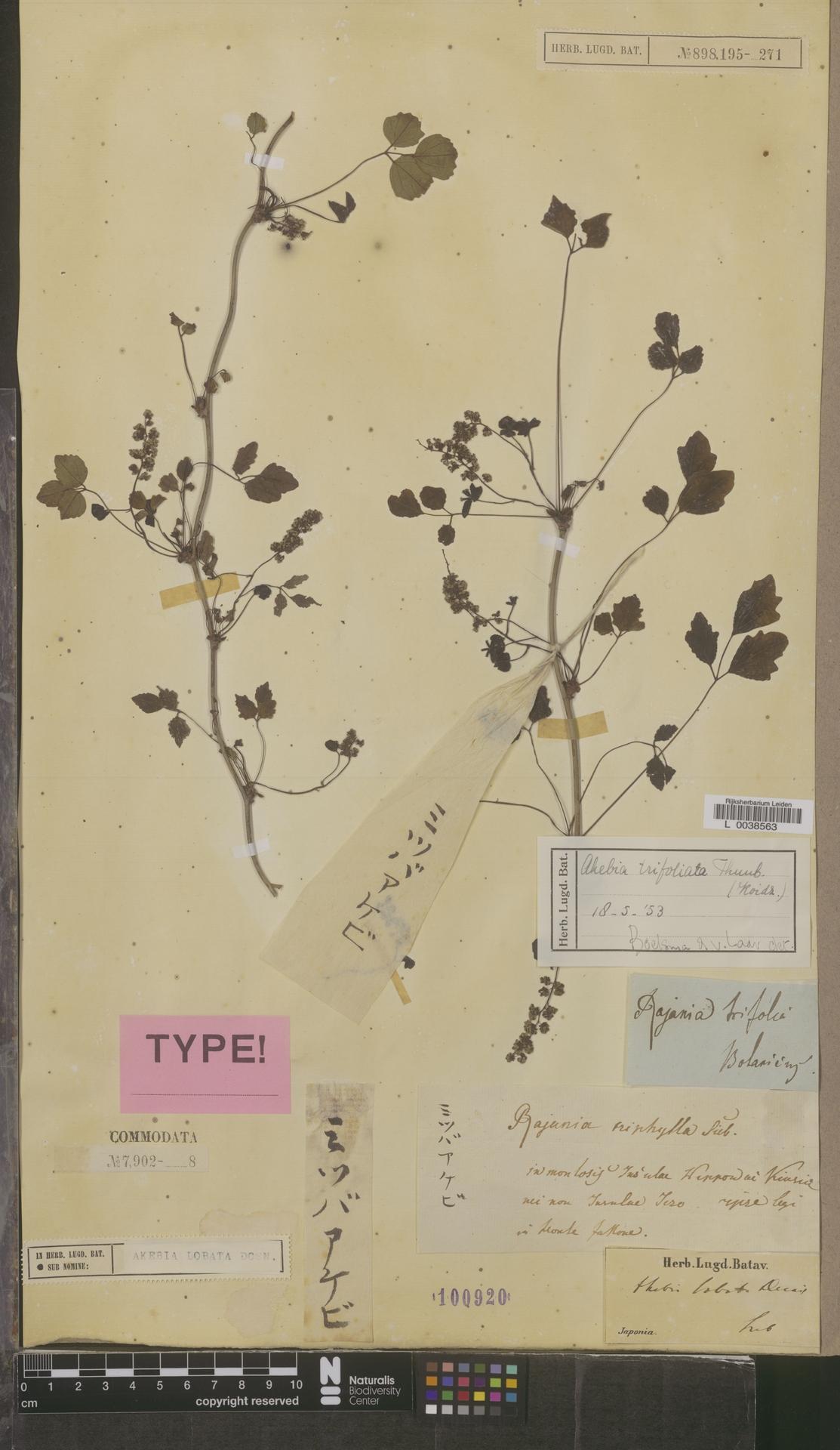 L  0038563 | Akebia trifoliata (Thunb.) Koidz.