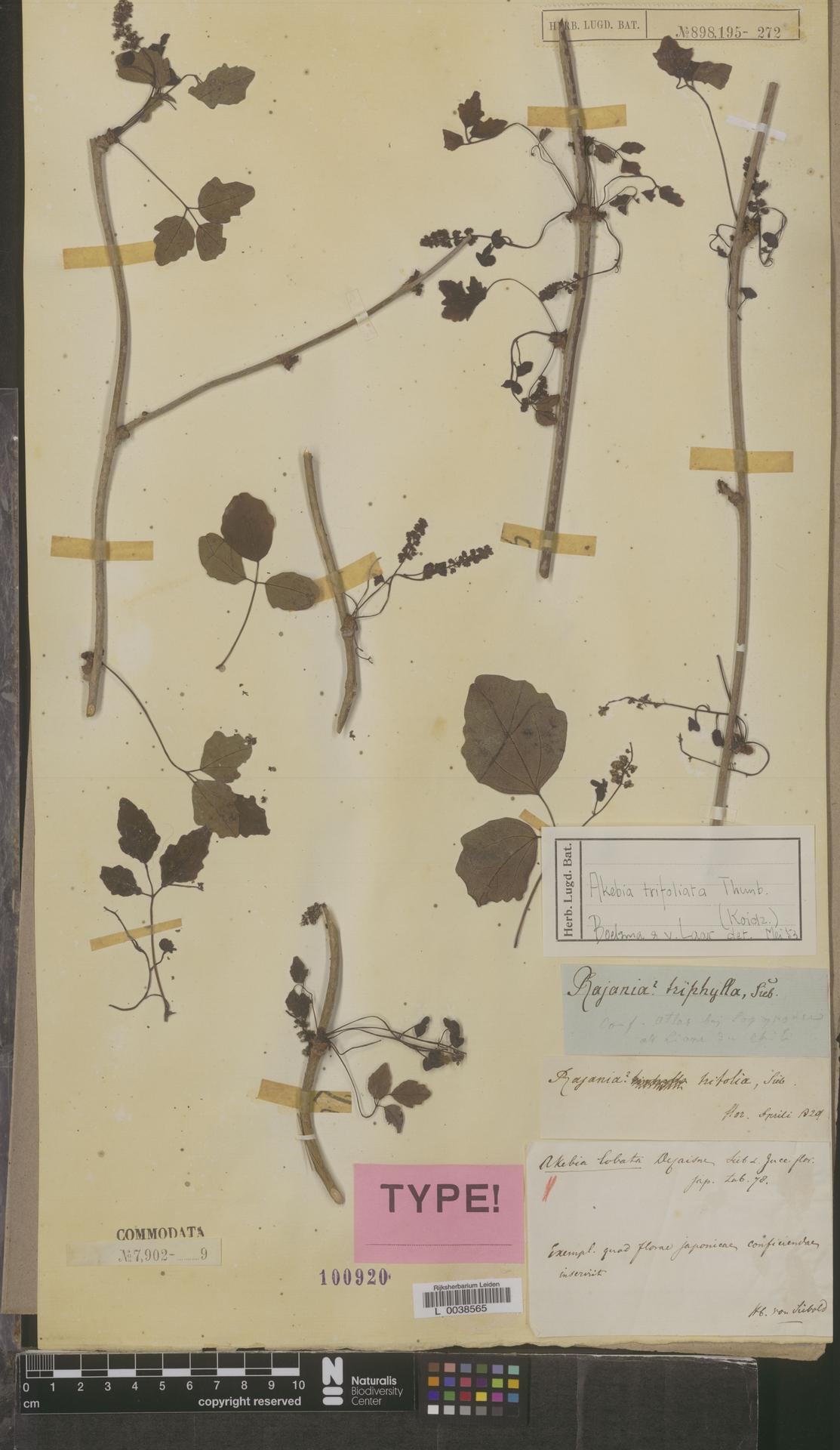 L  0038565 | Akebia trifoliata (Thunb.) Koidz.