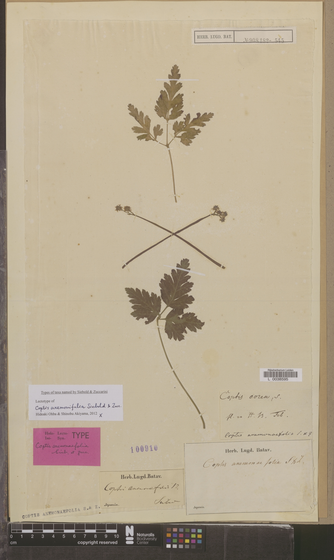 L  0038595 | Coptis anemonaefolia Siebold & Zucc.