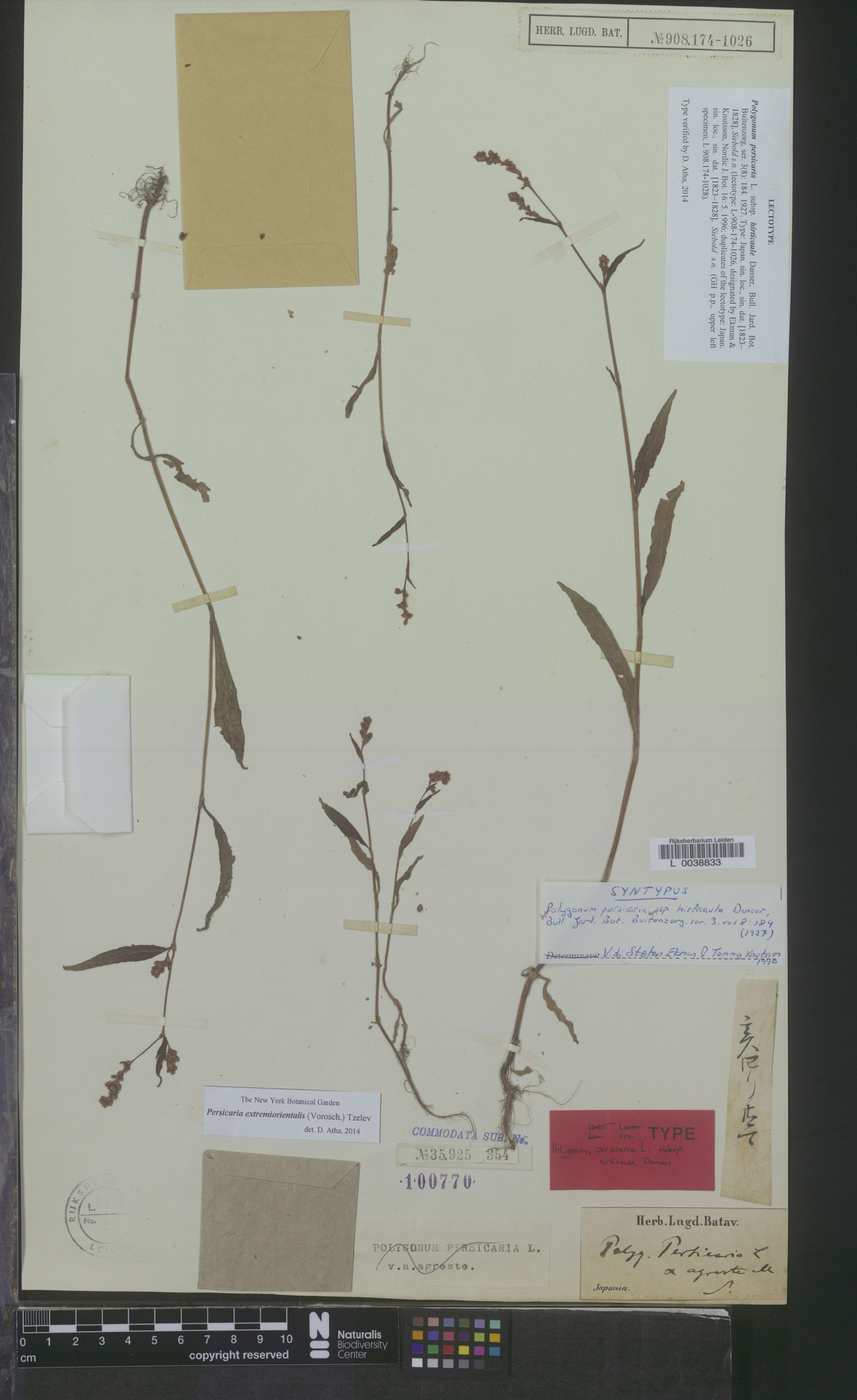 L  0038833 | Persicaria extremiorientalis (Vorosch.) Tzelev