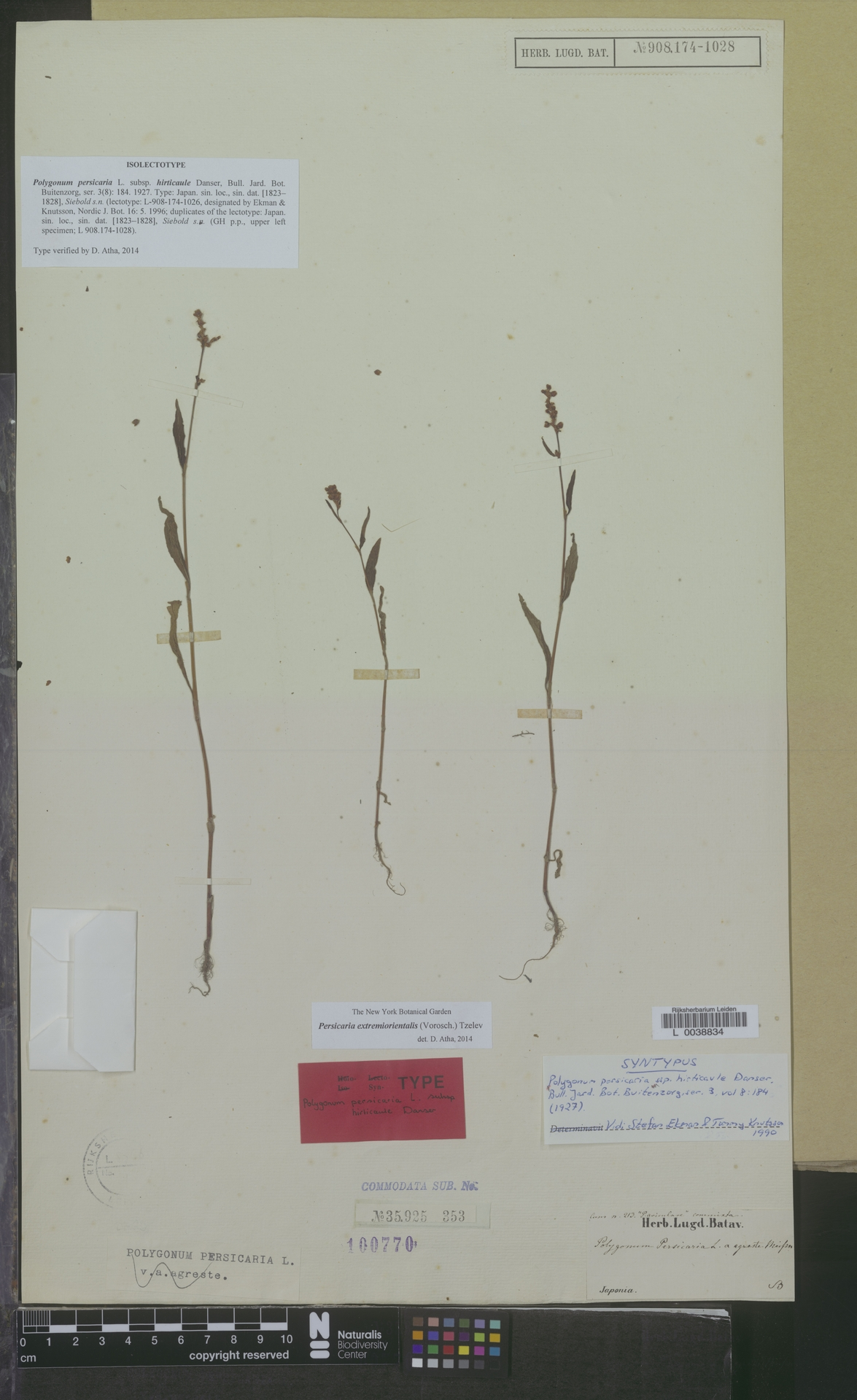 L  0038834 | Persicaria extremiorientalis (Vorosch.) Tzelev