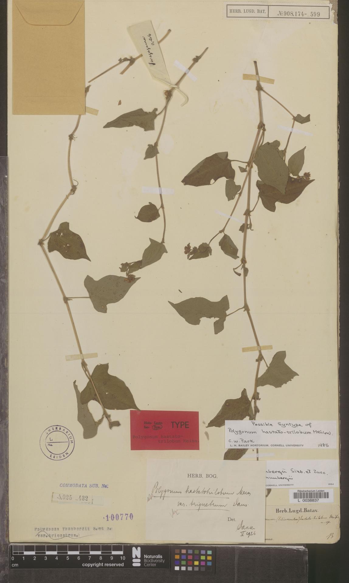 L  0038837 | Polygonum thunbergii var. thunbergii