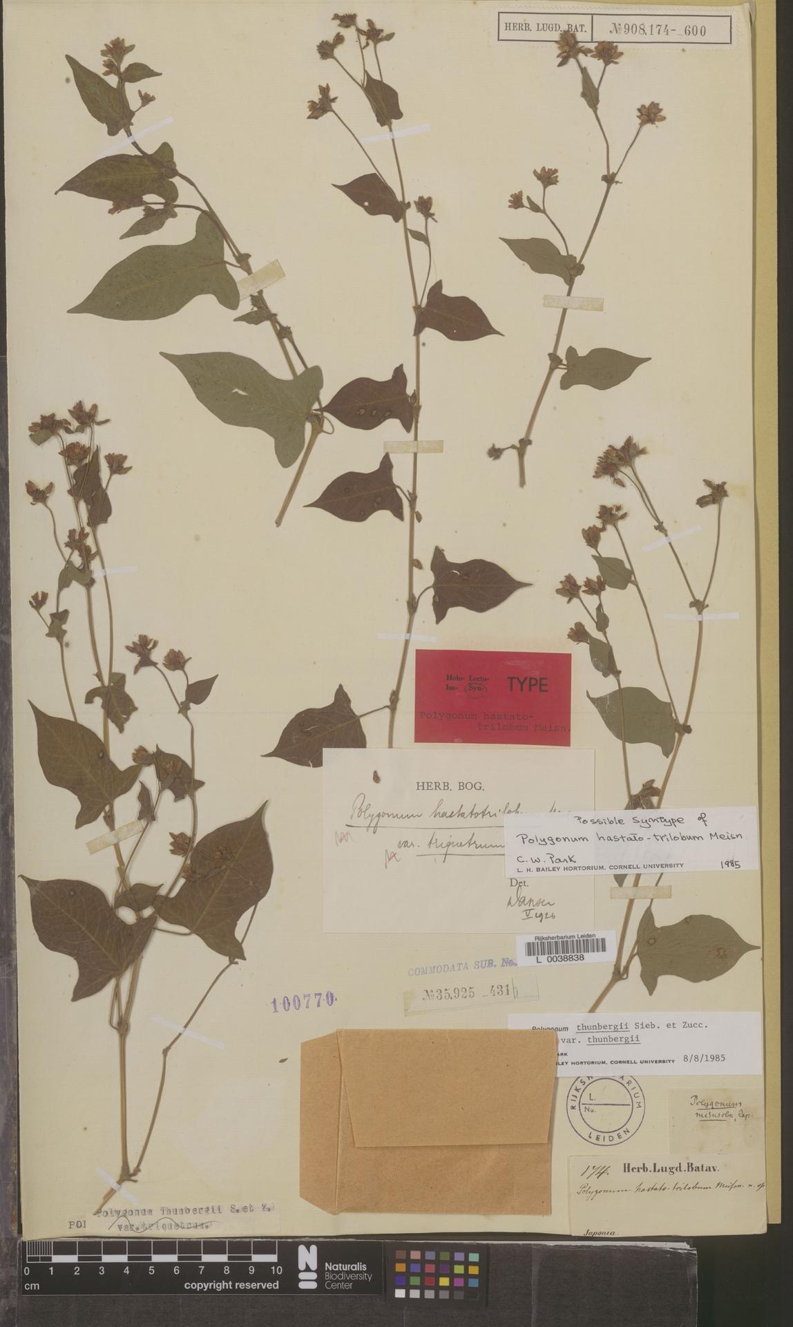 L  0038838 | Polygonum thunbergii var. thunbergii