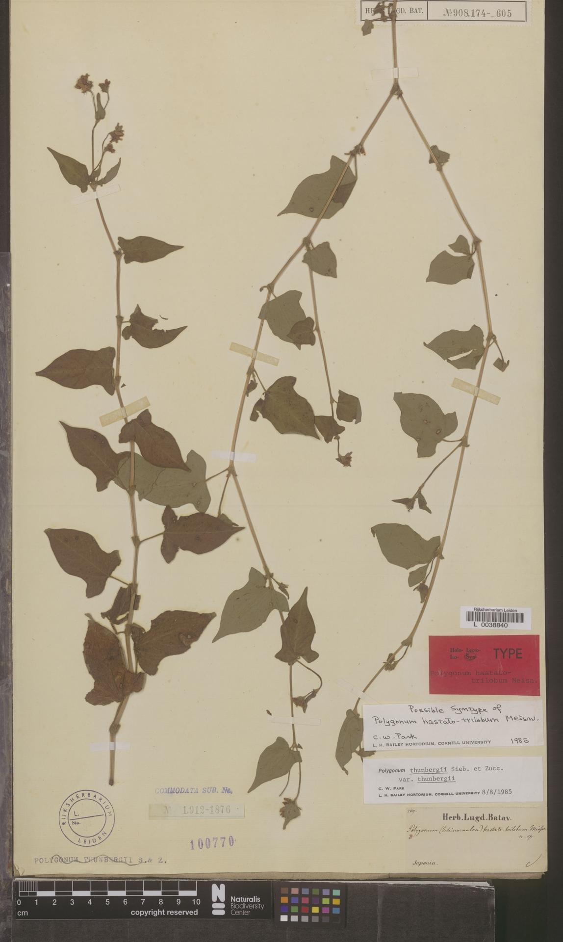 L  0038840 | Polygonum thunbergii var. thunbergii
