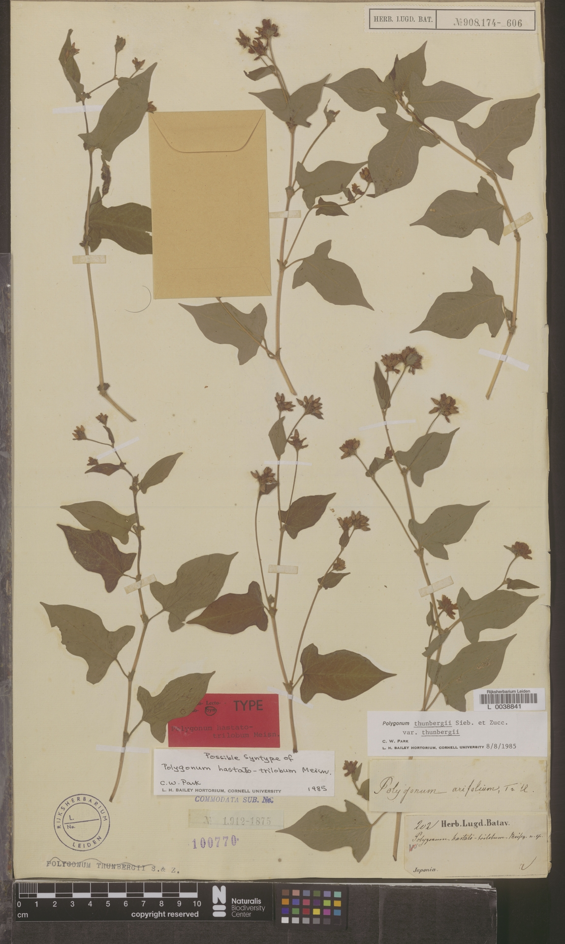 L  0038841 | Polygonum thunbergii var. thunbergii