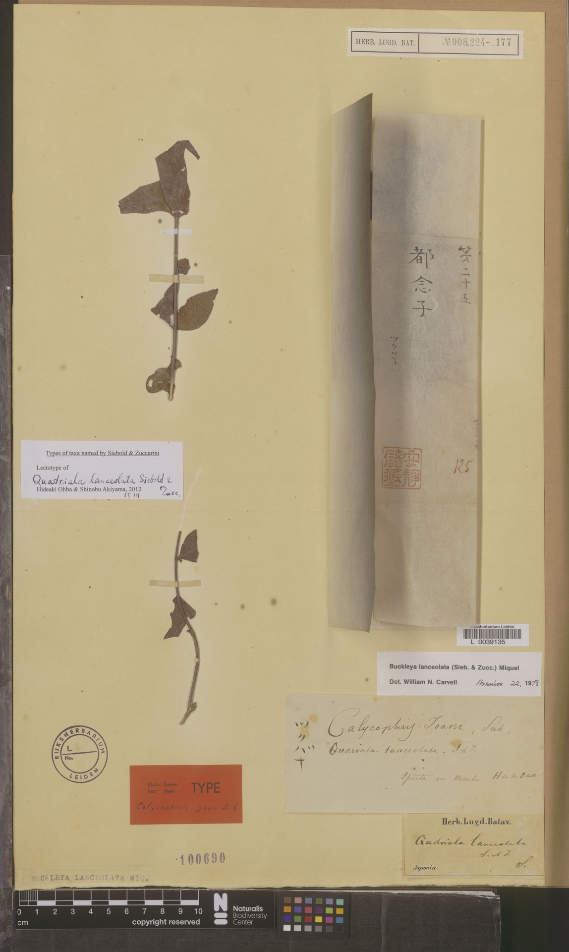 L  0039135 | Buckleya lanceolata (Siebold & Zucc.) Miq.