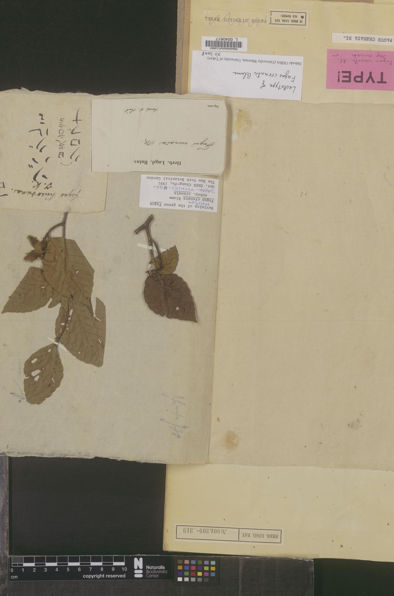 L  0040617 | Fagus crenata Blume