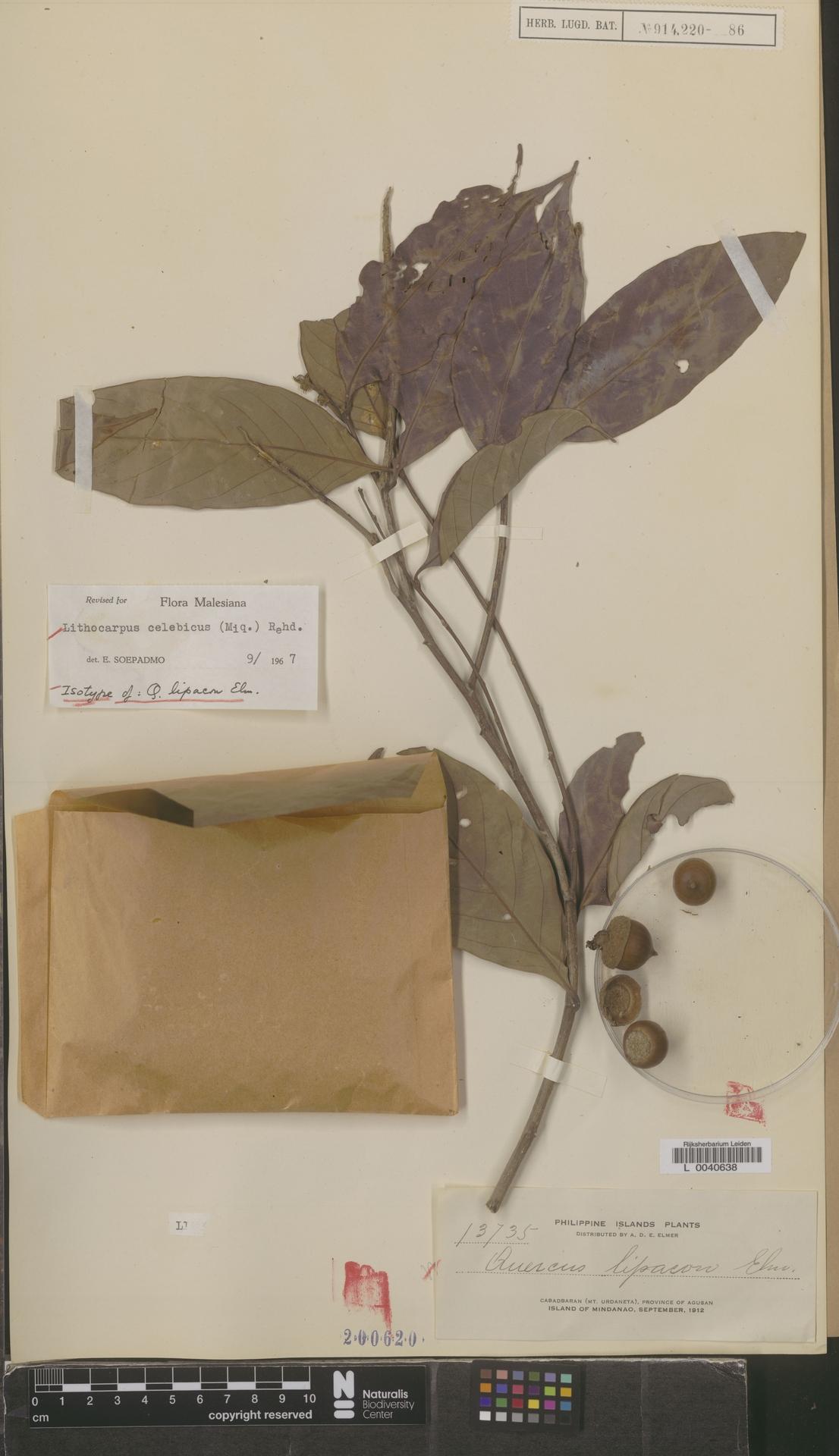 L  0040638 | Lithocarpus celebicus (Miq.) Rehder
