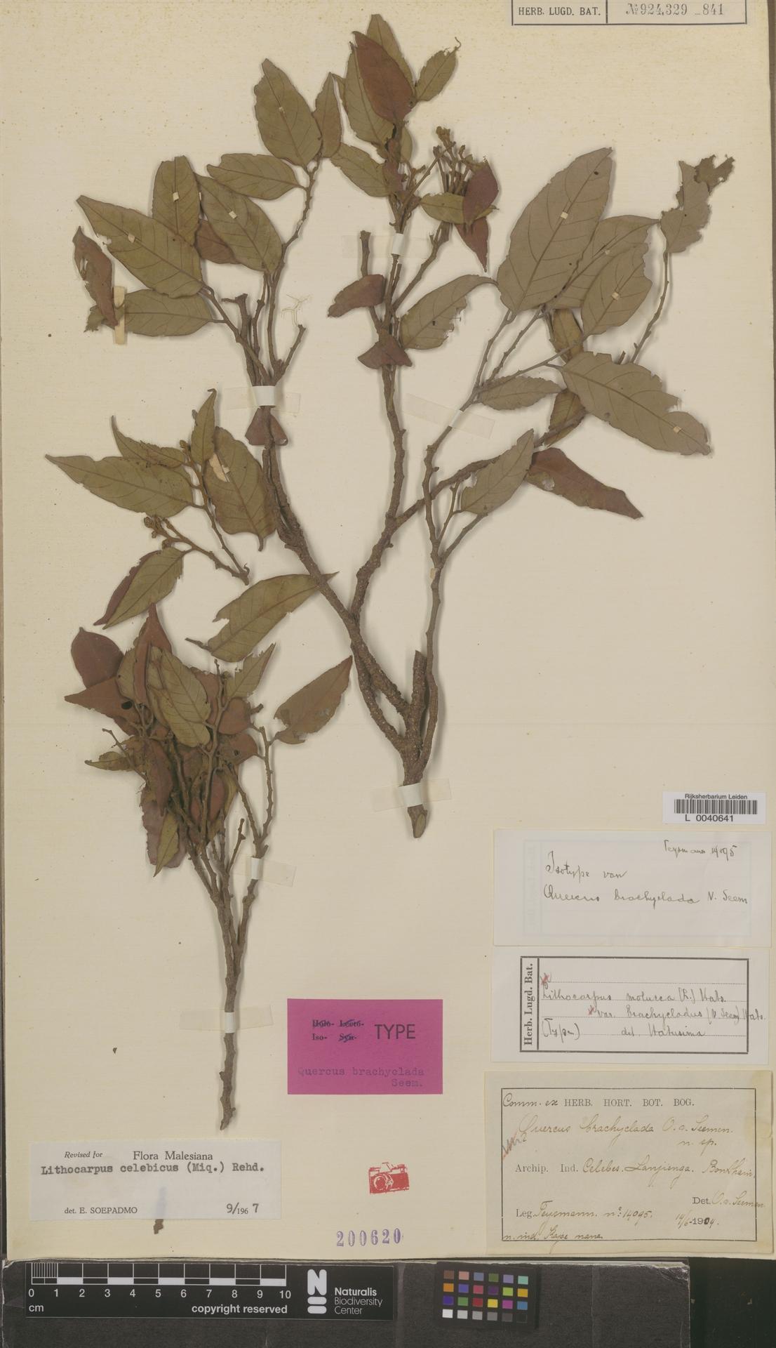 L  0040641 | Lithocarpus celebicus (Miq.) Rehder