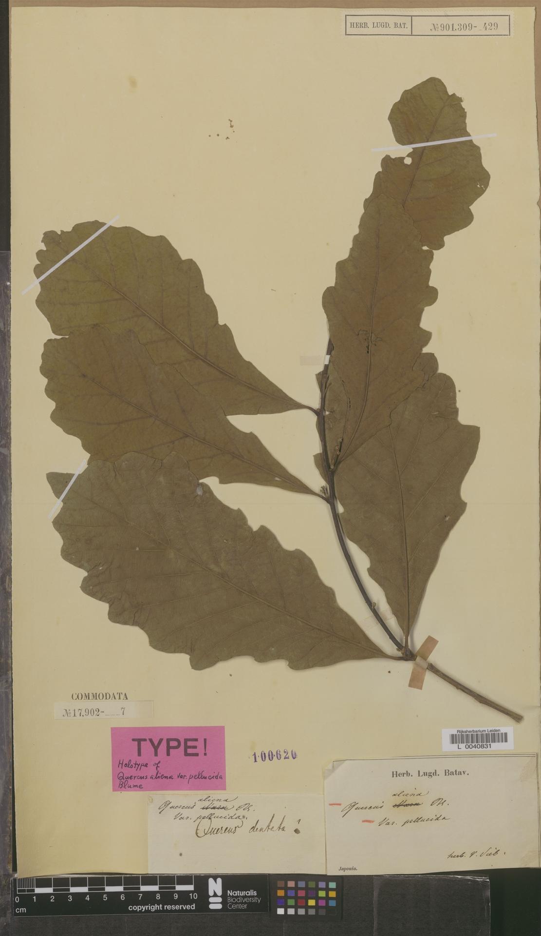 L  0040831   Quercus aliena var. pellucida
