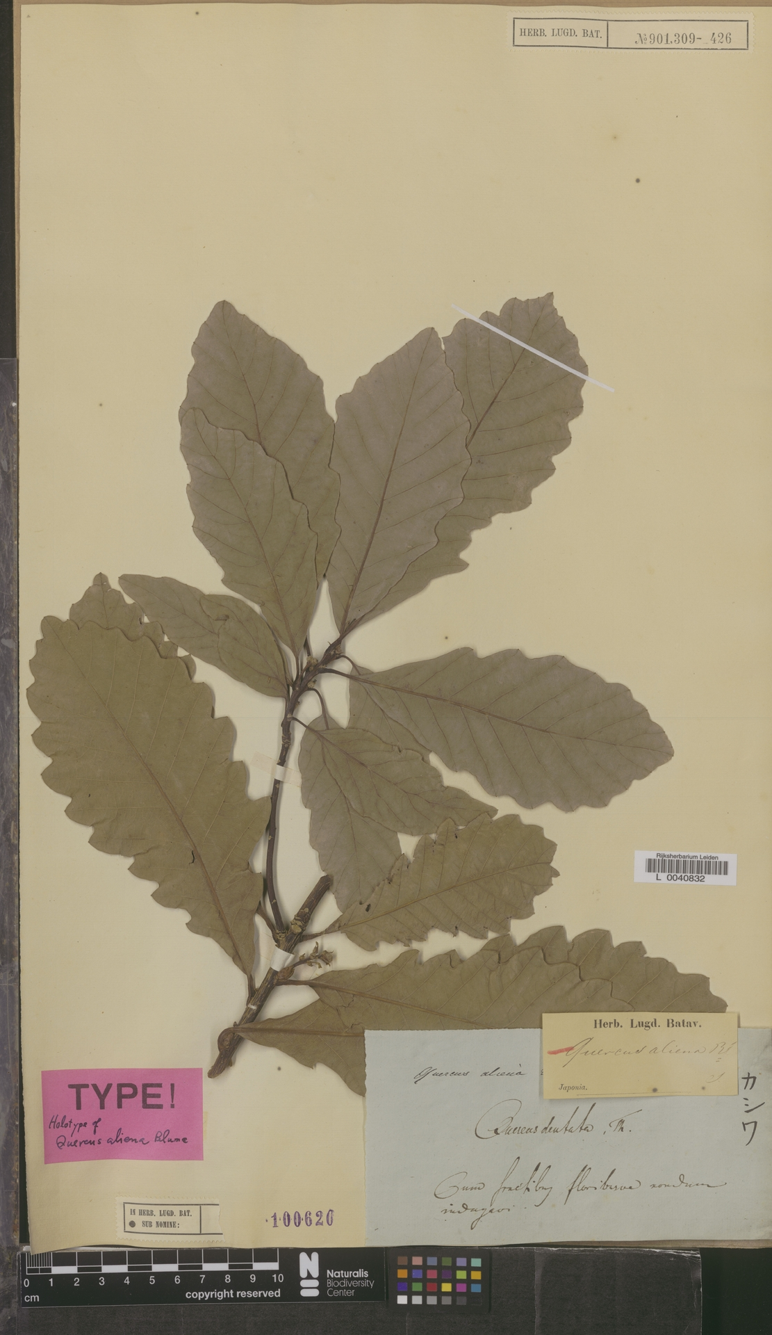 L  0040832 | Quercus aliena Blume
