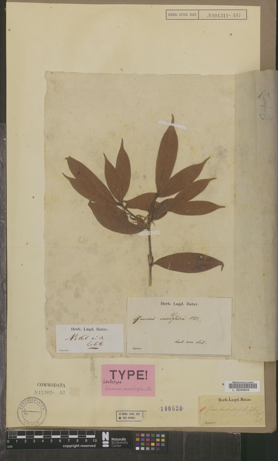 L  0040844   Quercus sessilifolia Blume