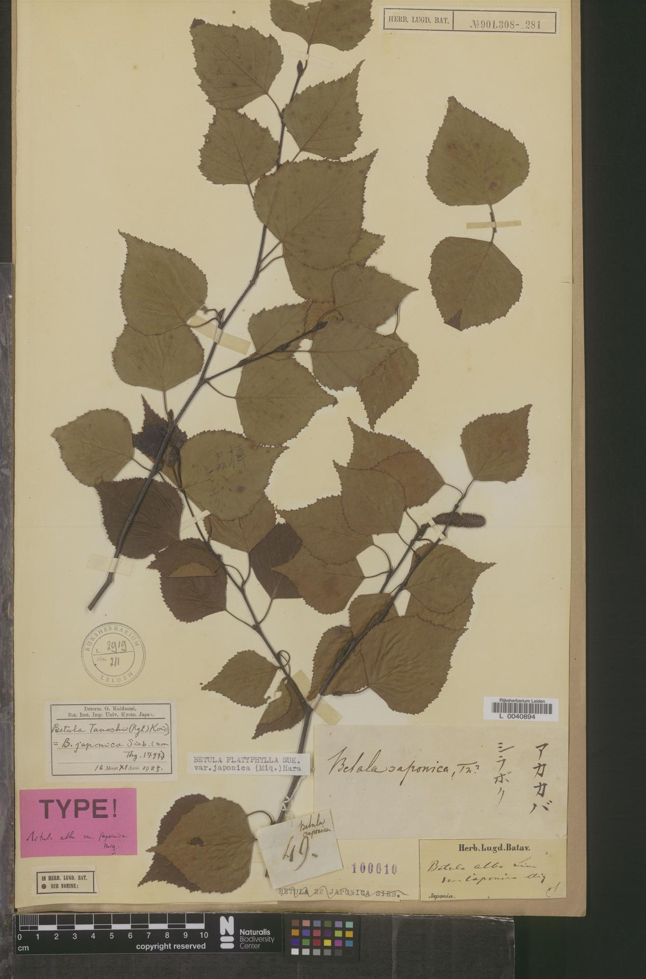 L  0040894   Betula platyphylla var. japonica (Miq.) Hara